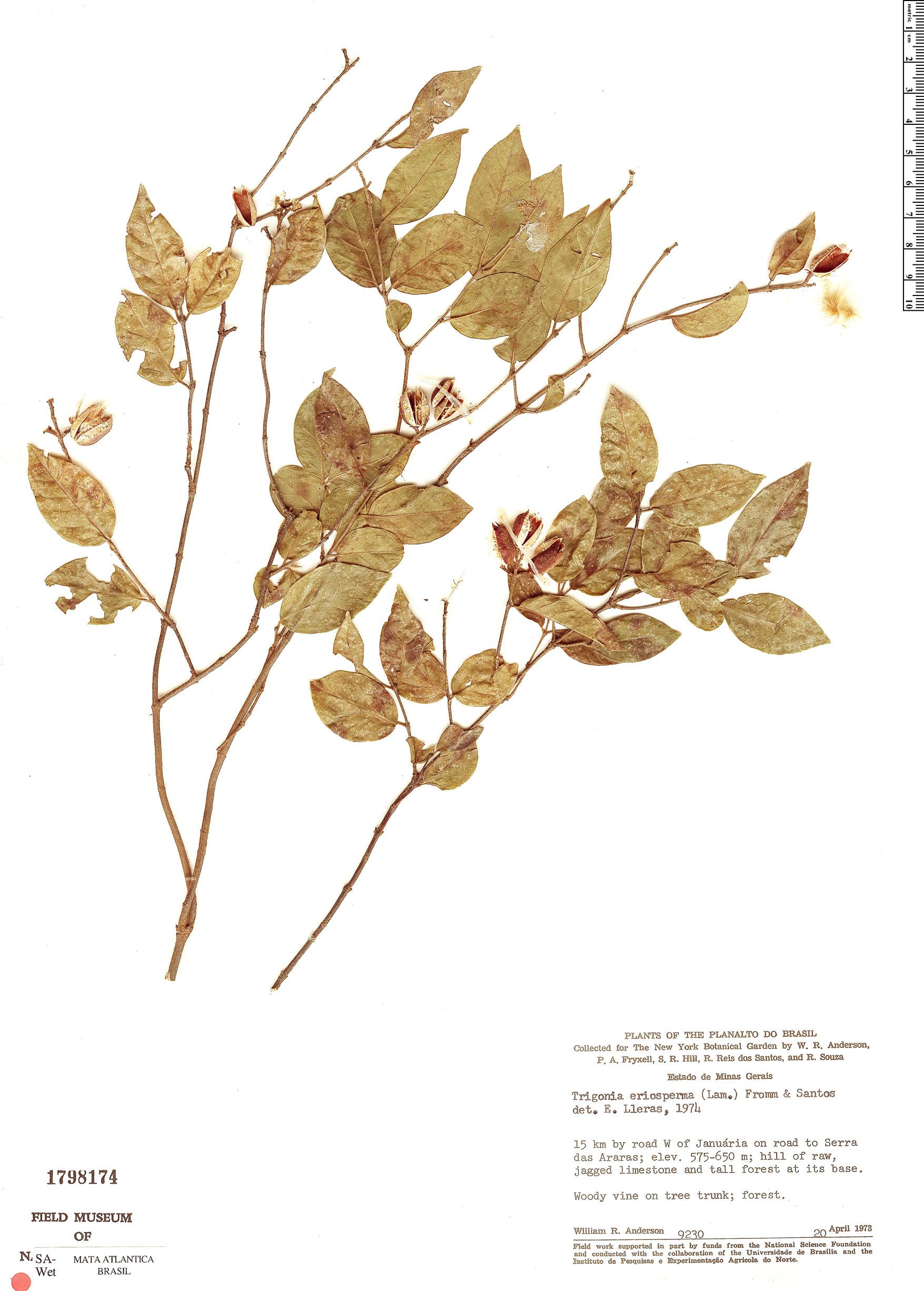 Espécimen: Trigonia eriosperma