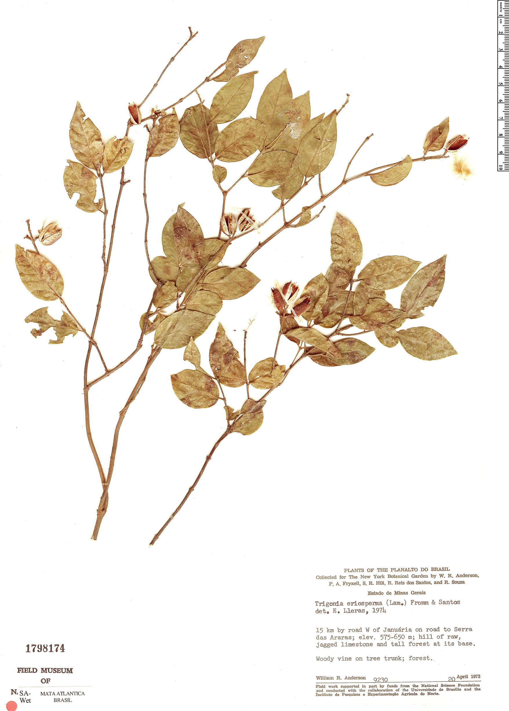 Espécime: Trigonia eriosperma