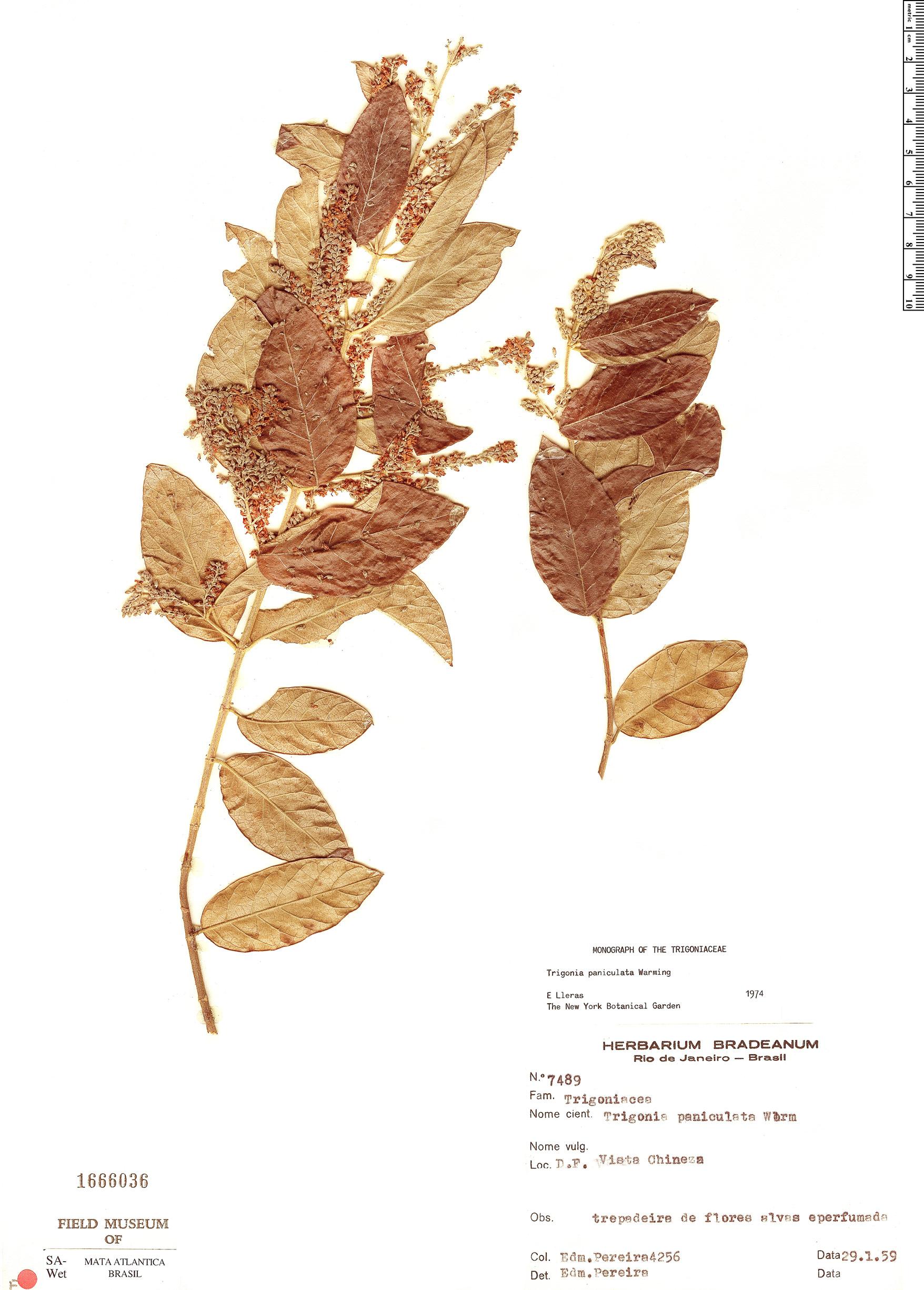 Specimen: Trigonia paniculata