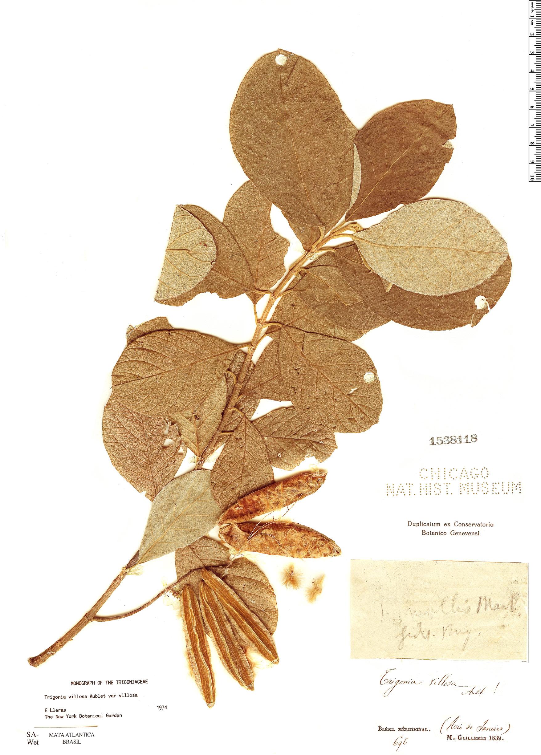 Espécimen: Trigonia villosa