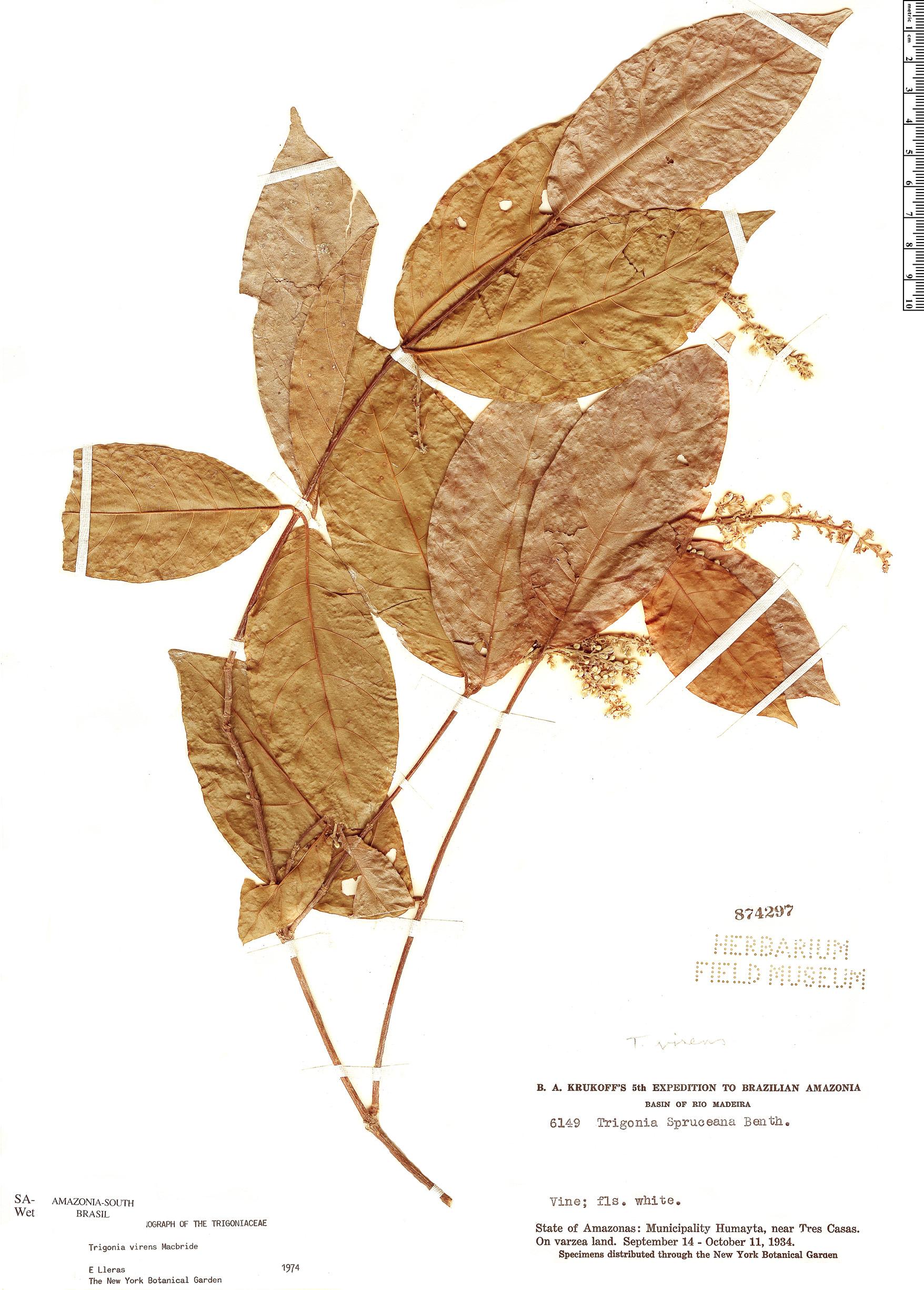 Specimen: Trigonia virens