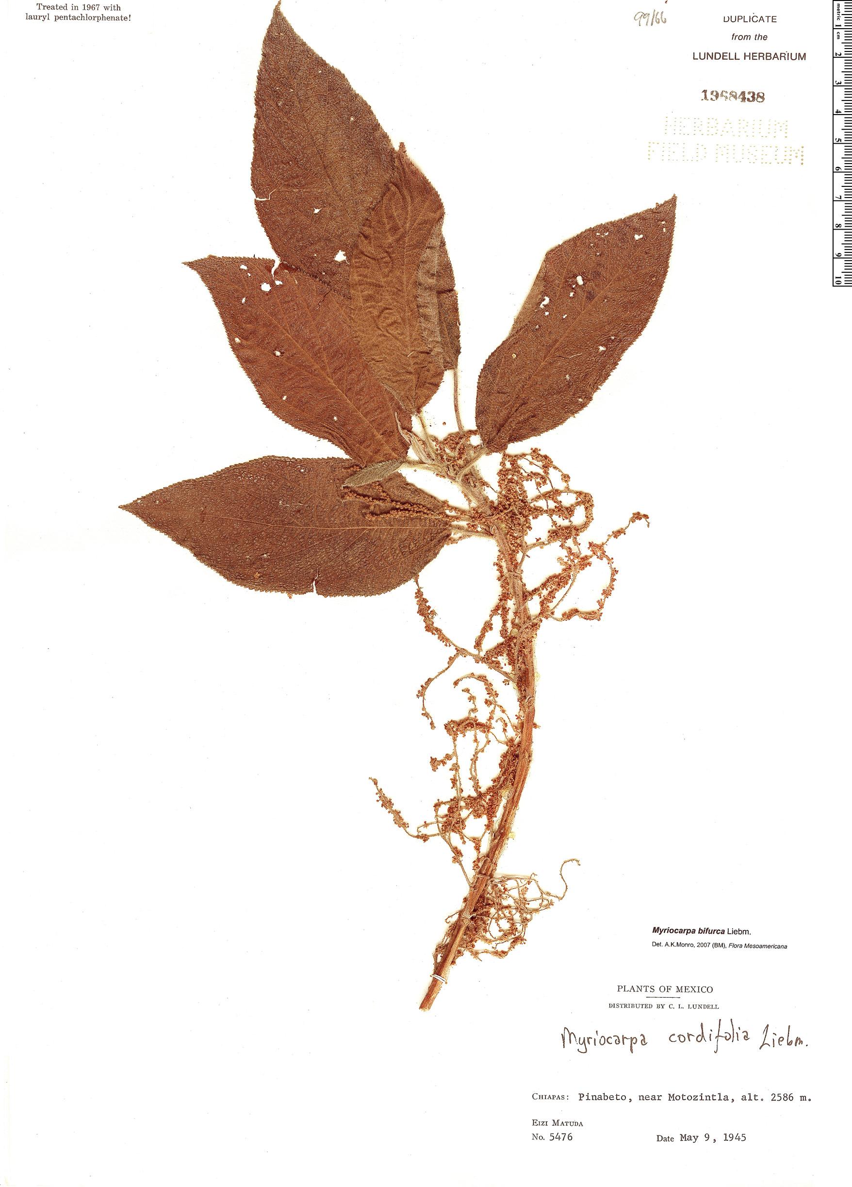 Specimen: Myriocarpa bifurca