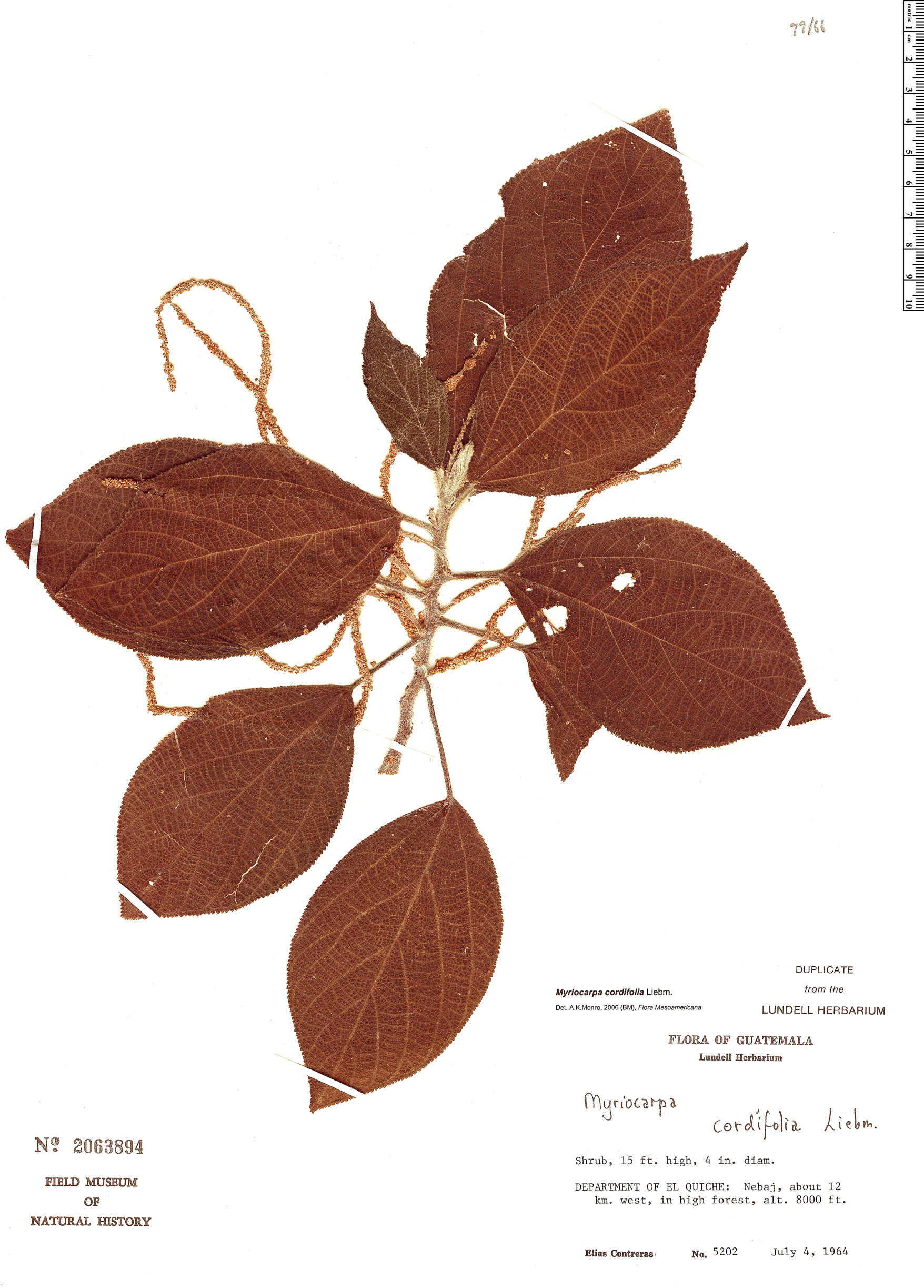 Specimen: Myriocarpa cordifolia