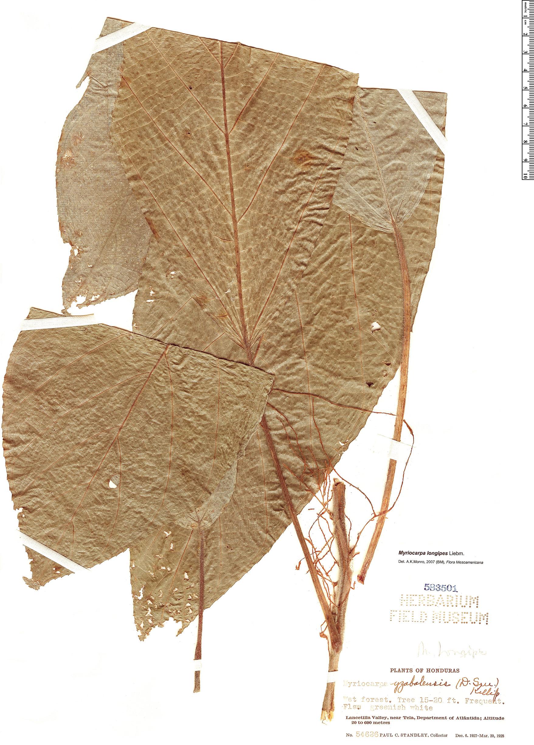 Specimen: Myriocarpa longipes