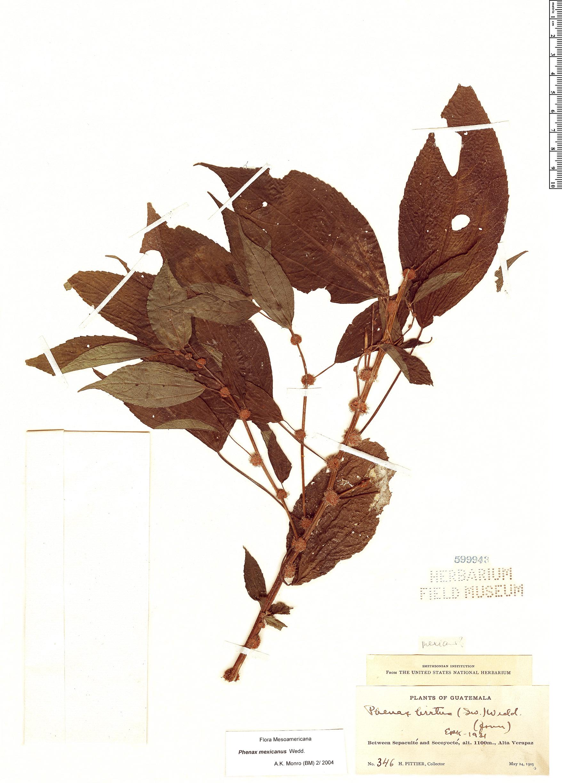 Specimen: Phenax mexicanus