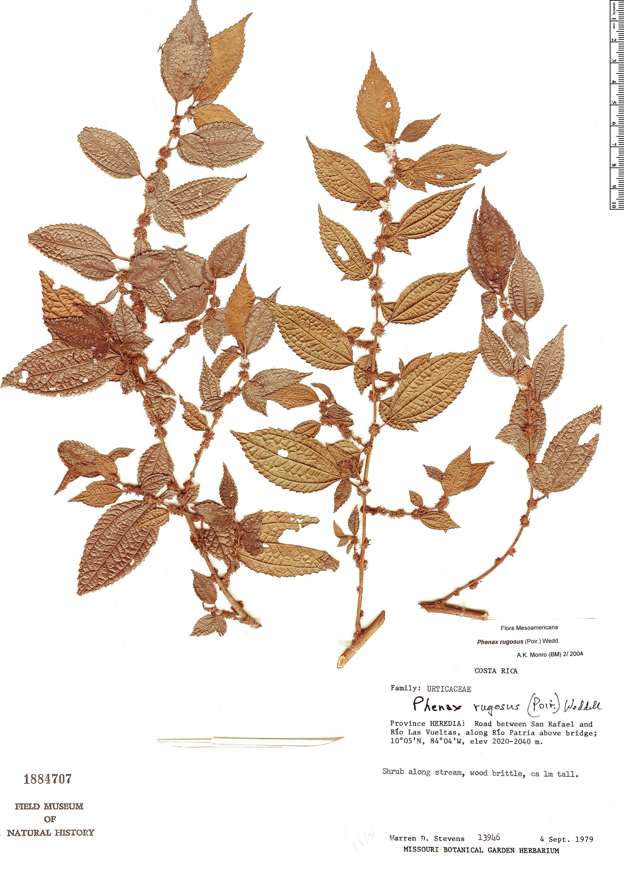 Specimen: Phenax rugosus