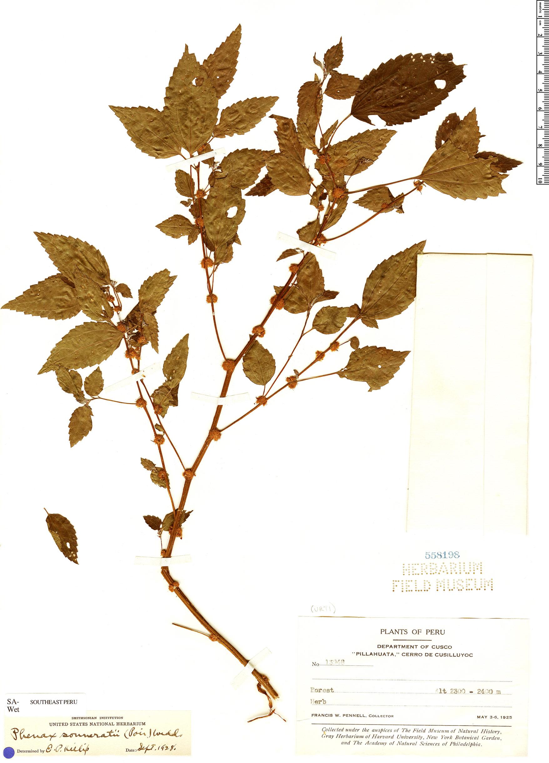 Specimen: Phenax sonneratii