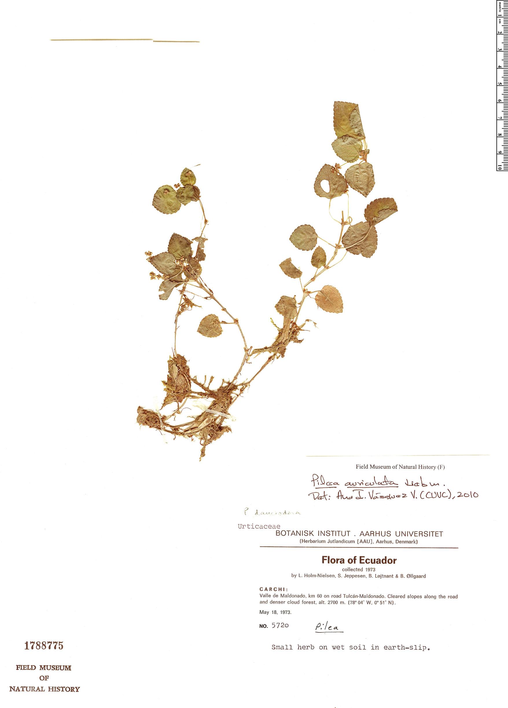 Specimen: Pilea auriculata