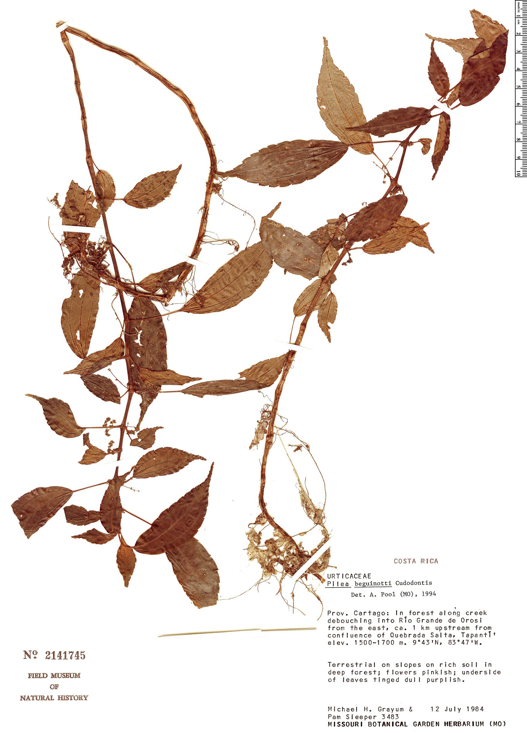 Specimen: Pilea beguinotii