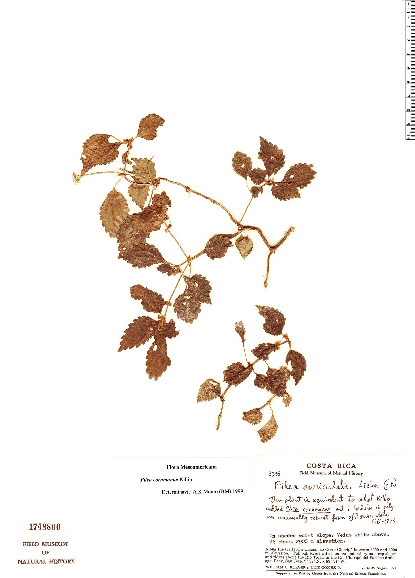 Specimen: Pilea cornmaniae