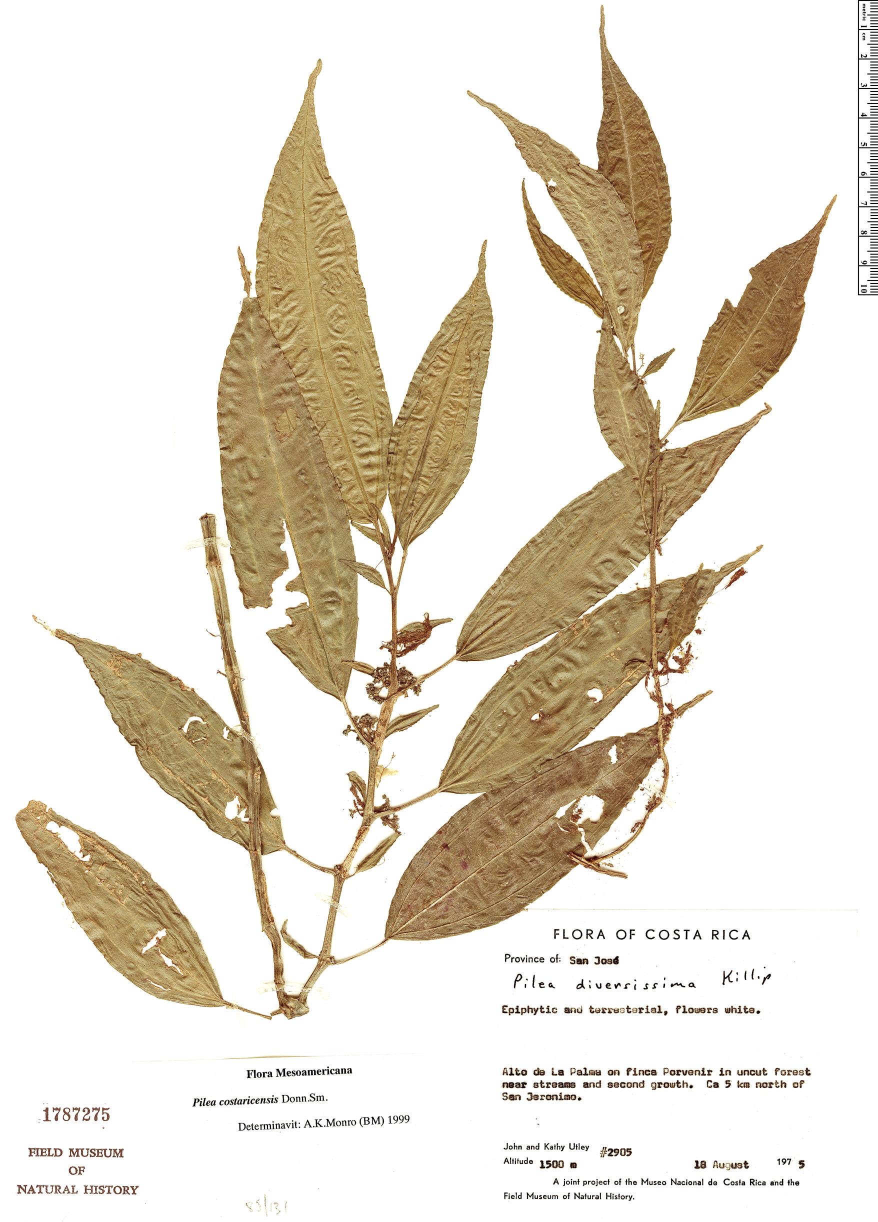 Specimen: Pilea costaricensis