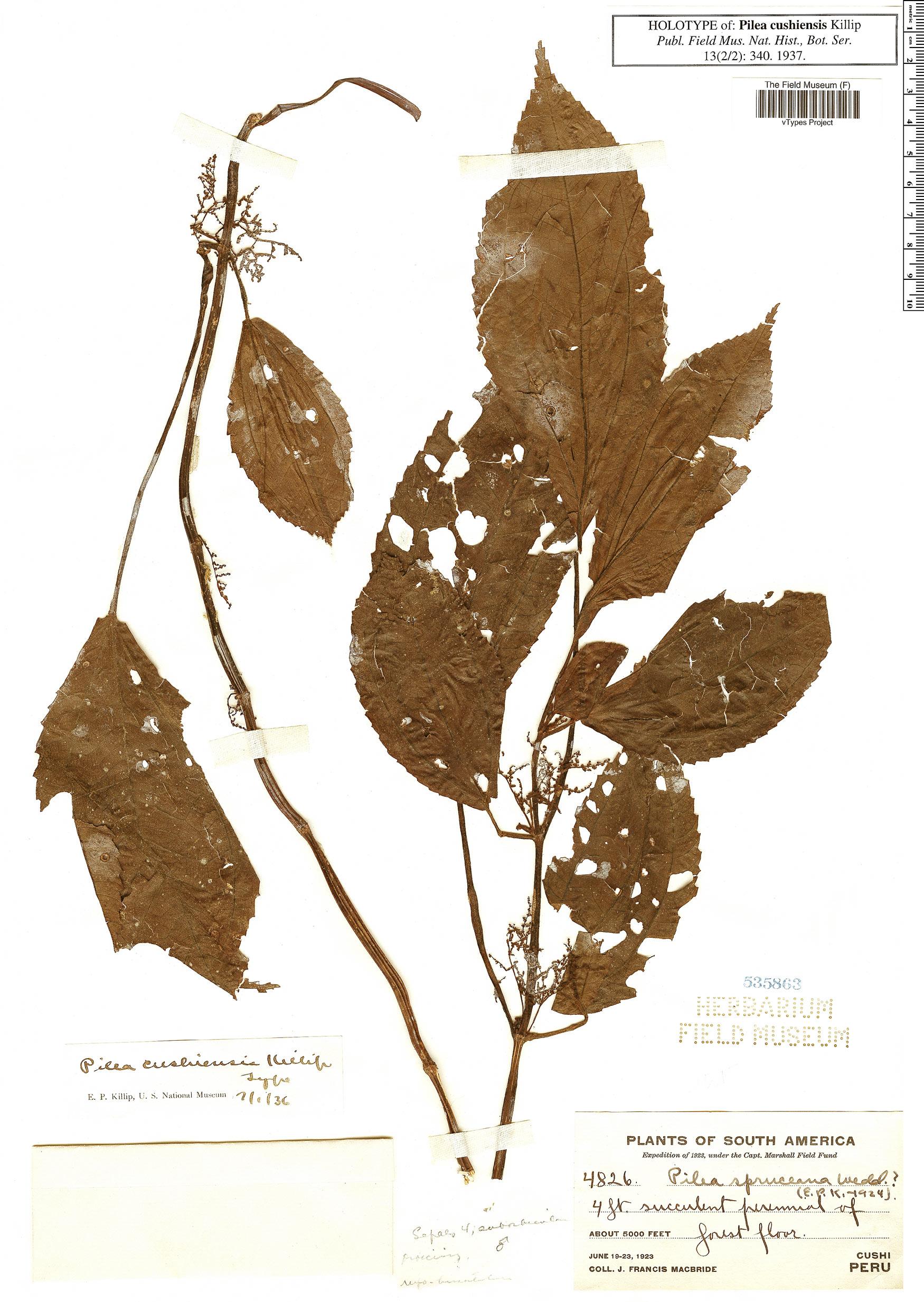 Specimen: Pilea cushiensis