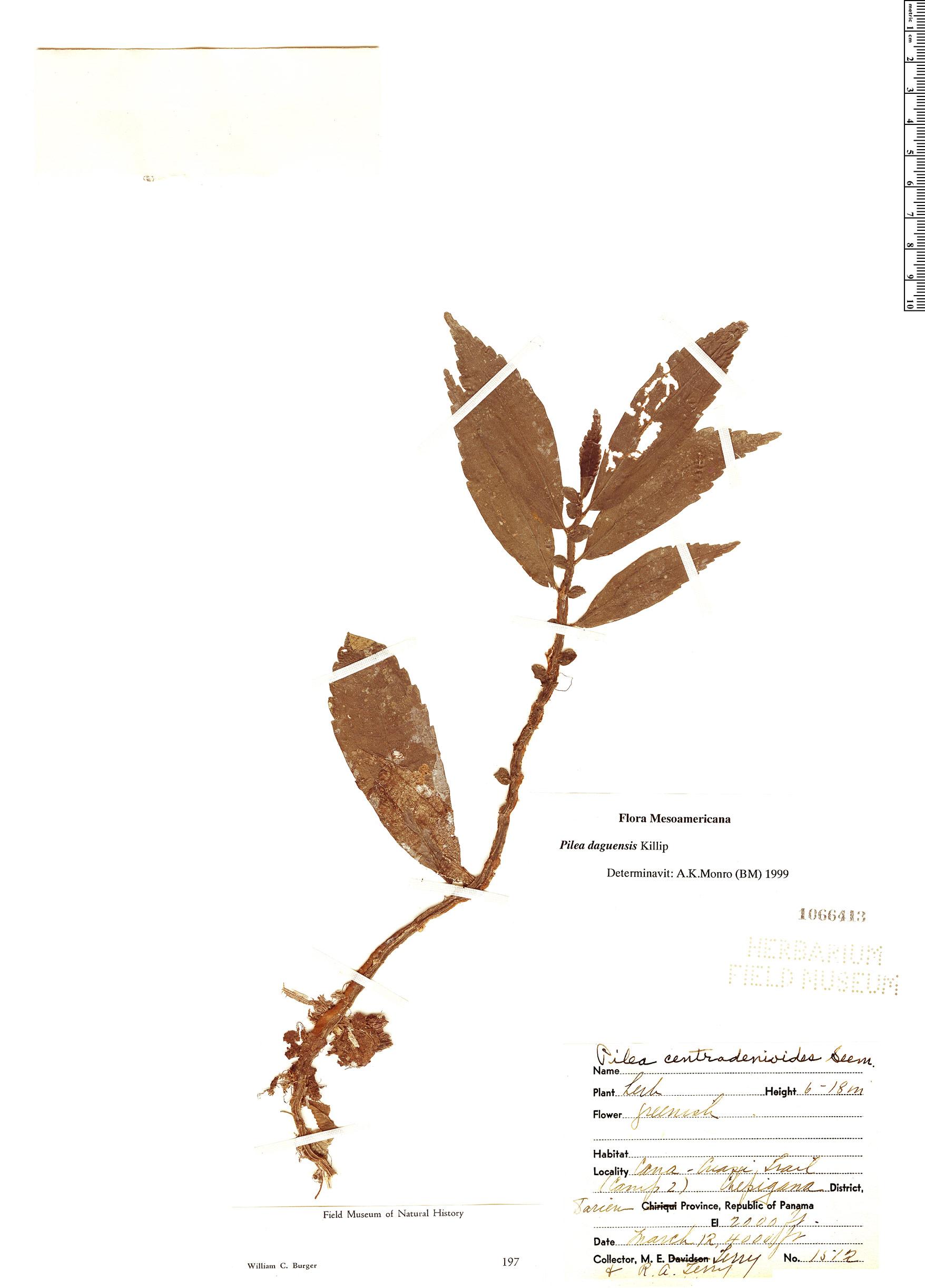 Specimen: Pilea daguensis