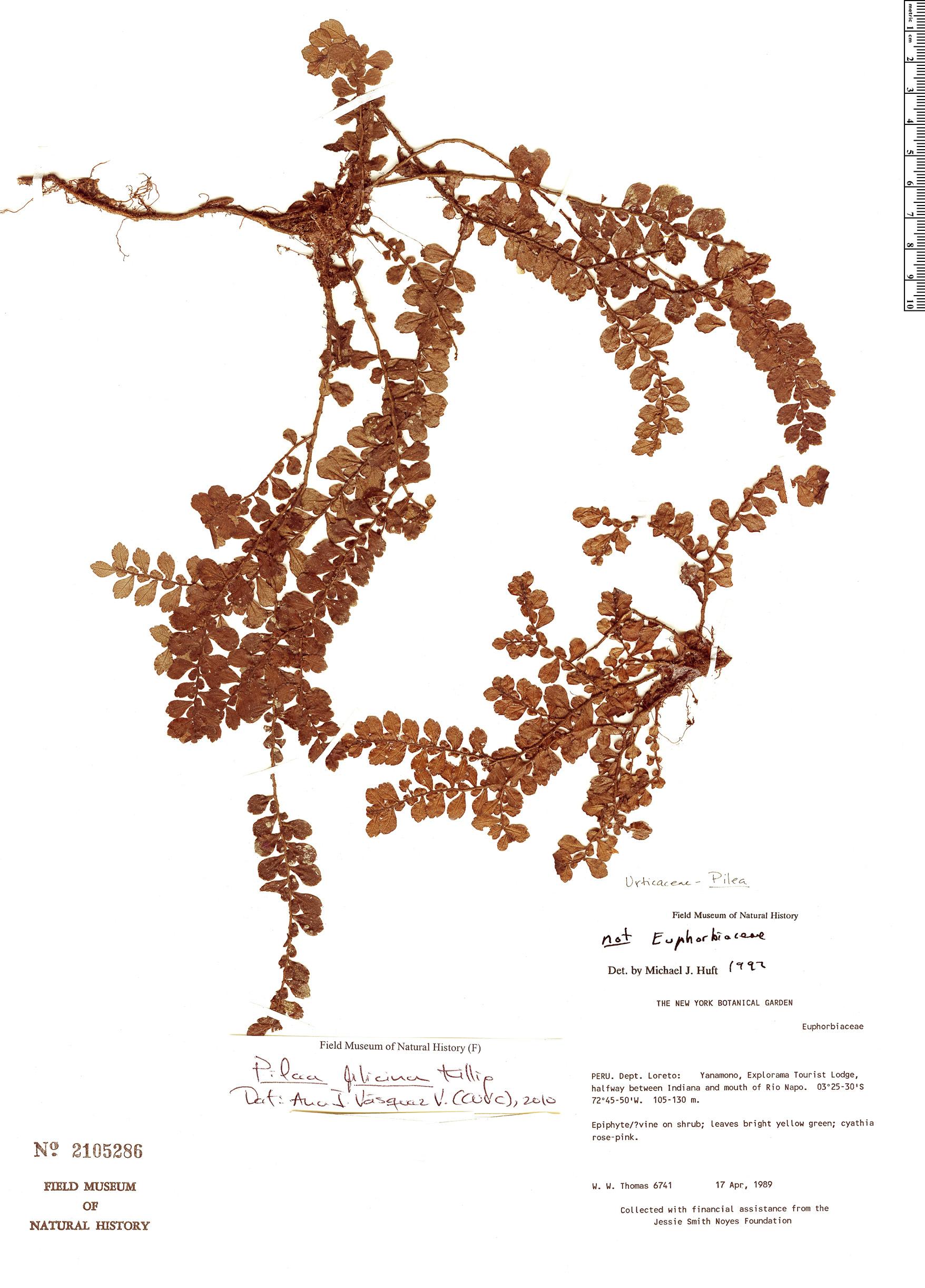 Specimen: Pilea filicina