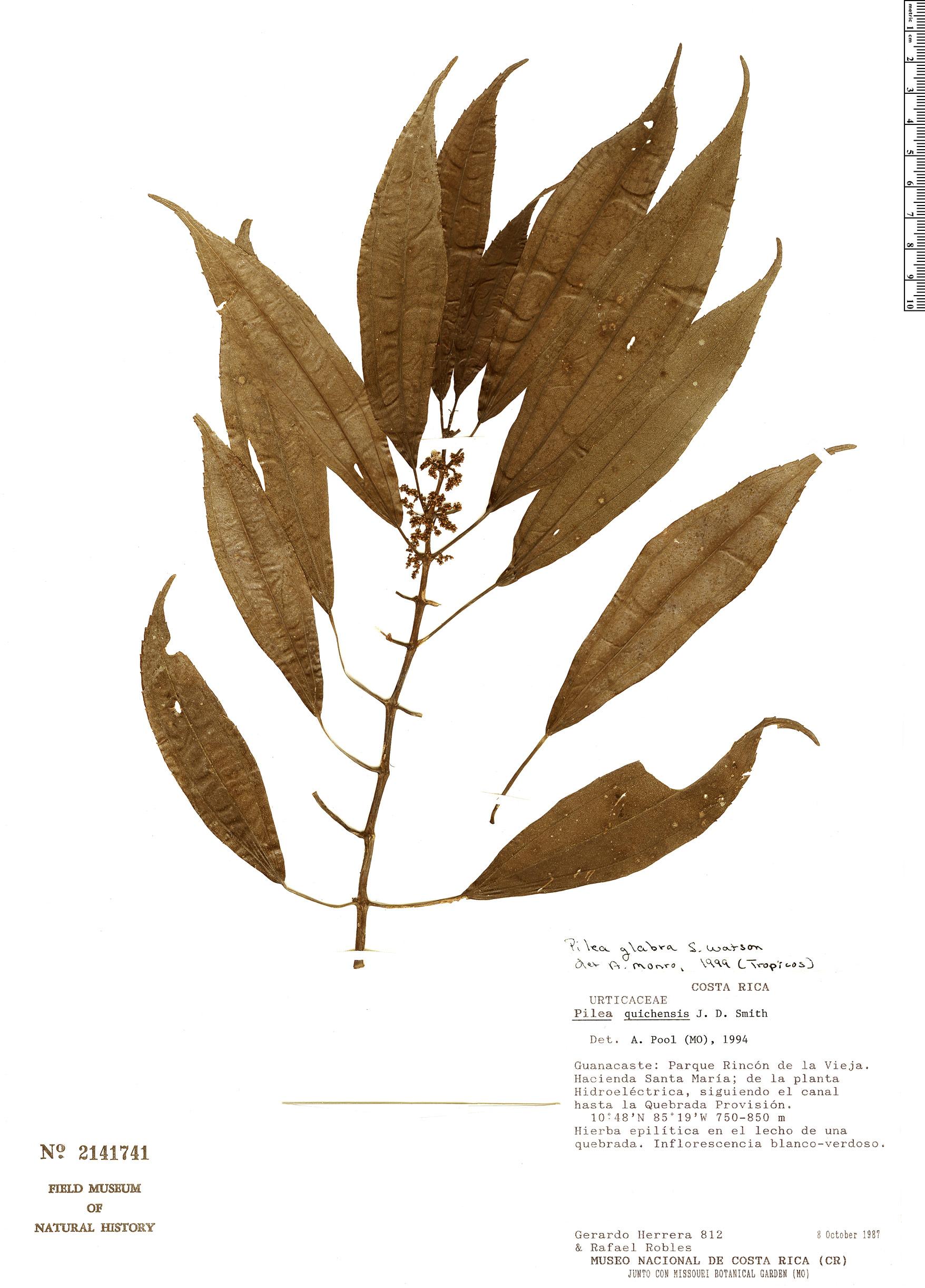 Specimen: Pilea glabra