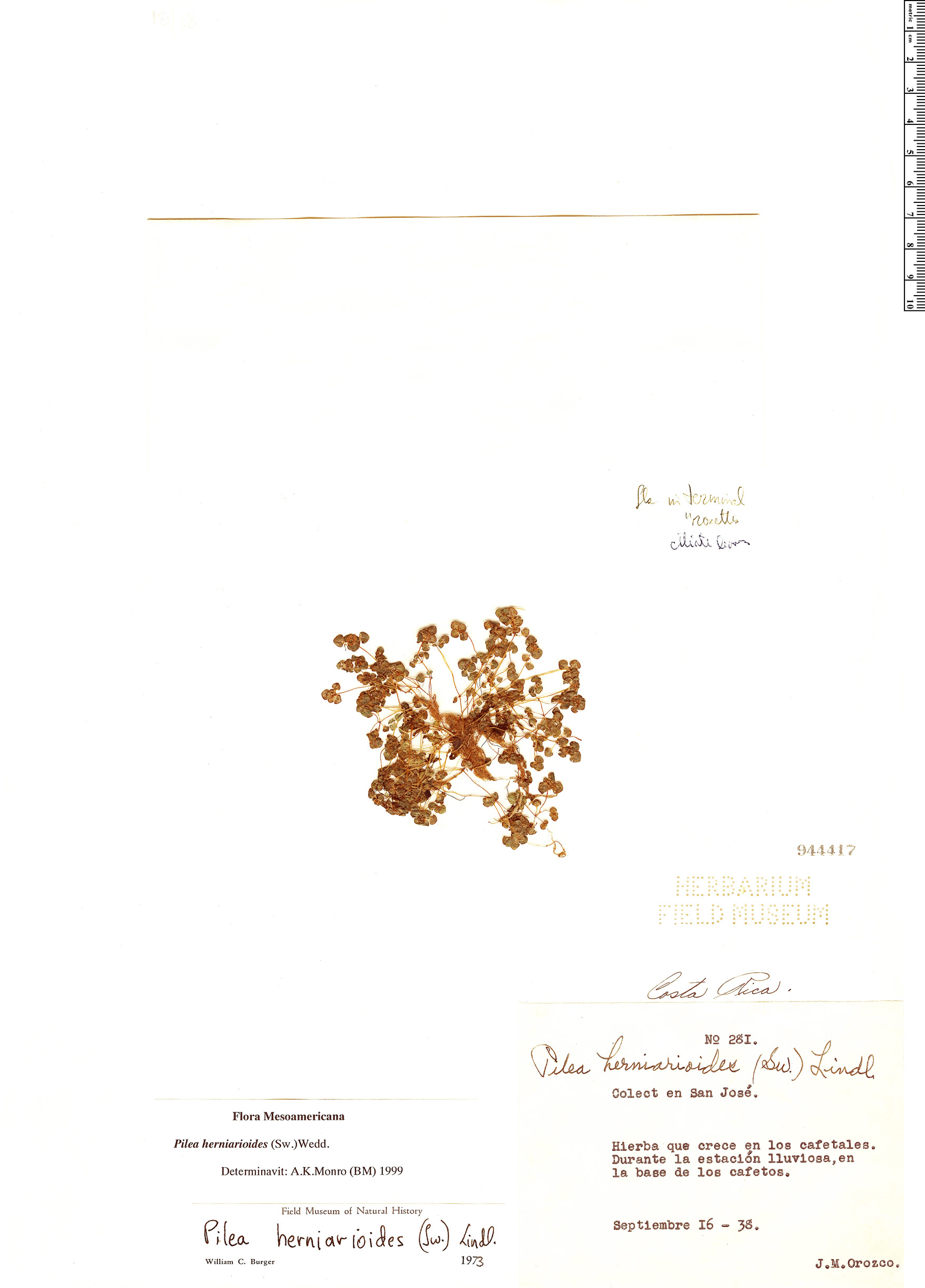 Specimen: Pilea herniarioides