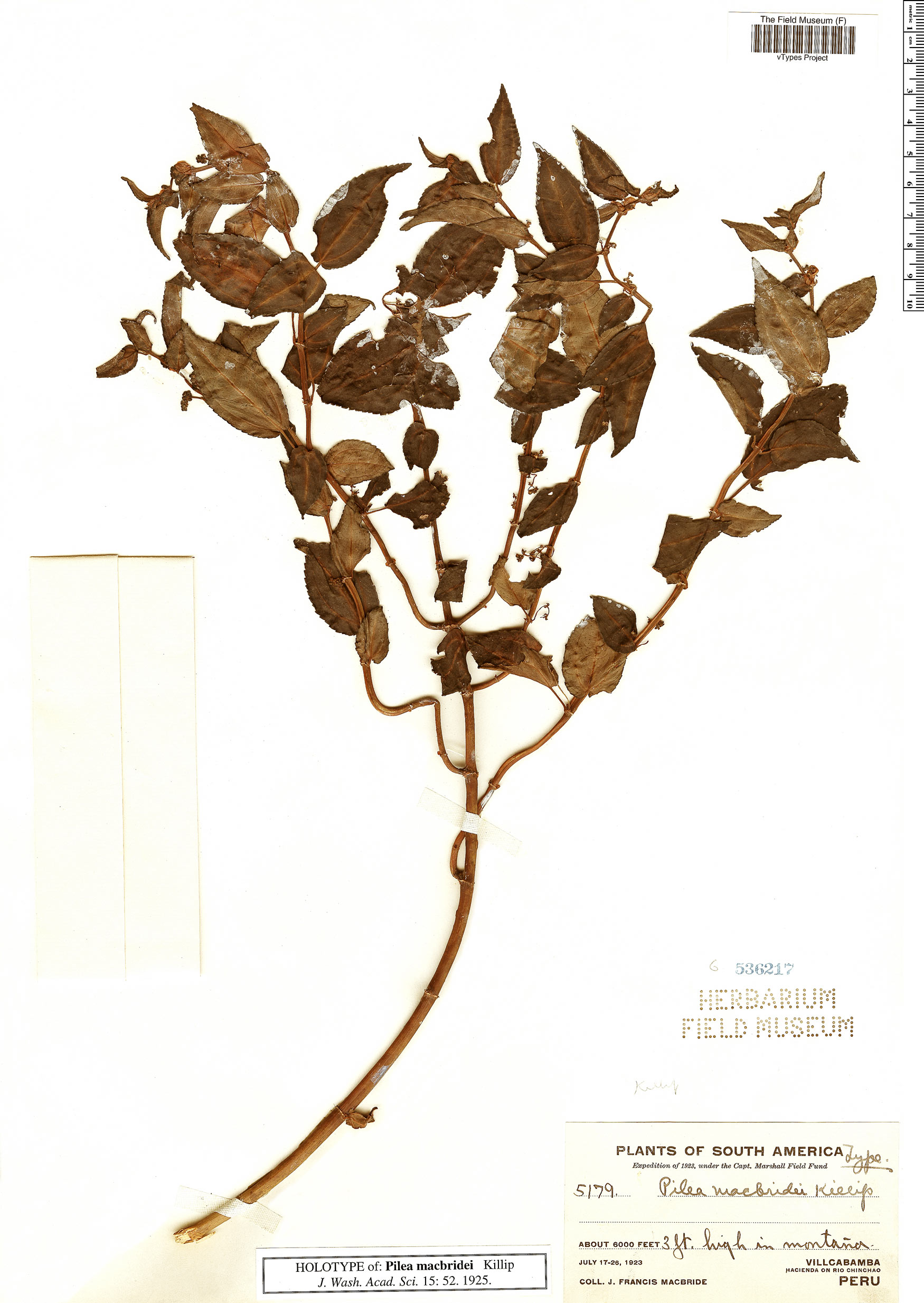 Specimen: Pilea macbridei