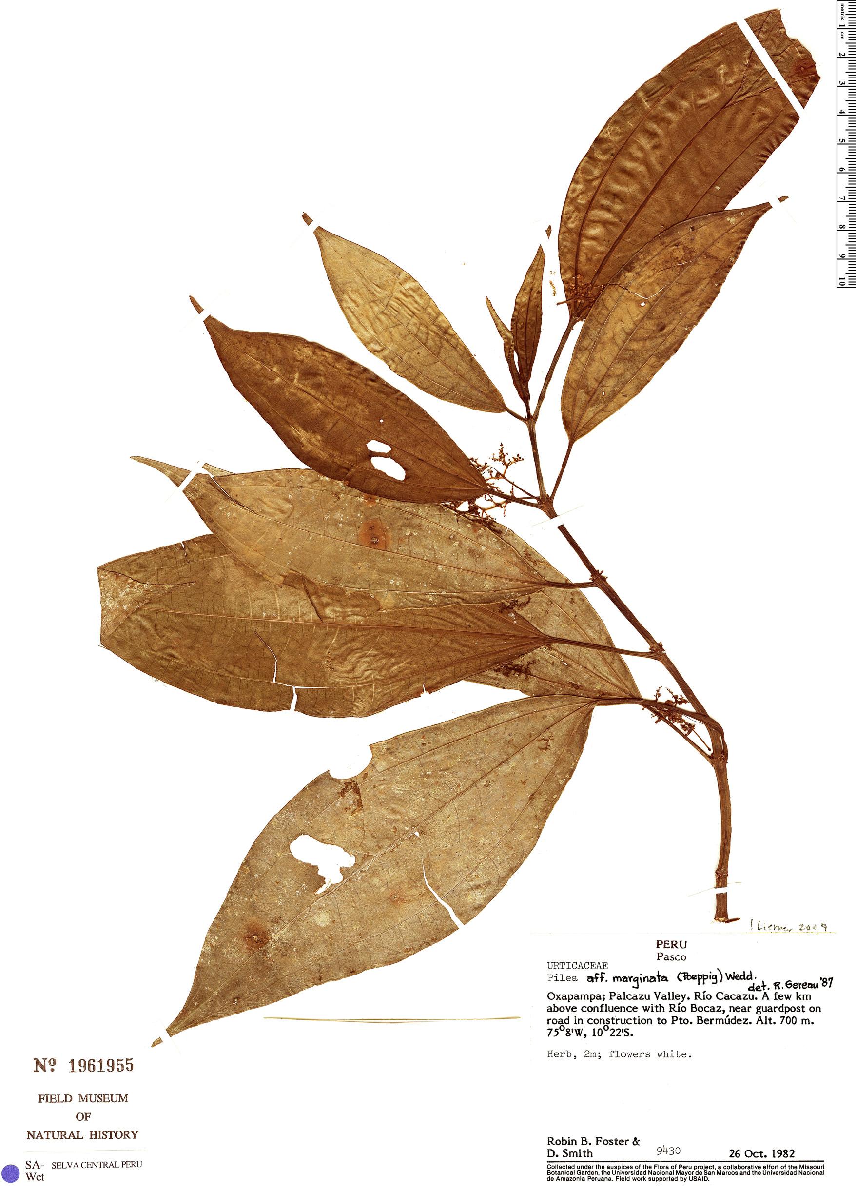 Espécimen: Pilea marginata