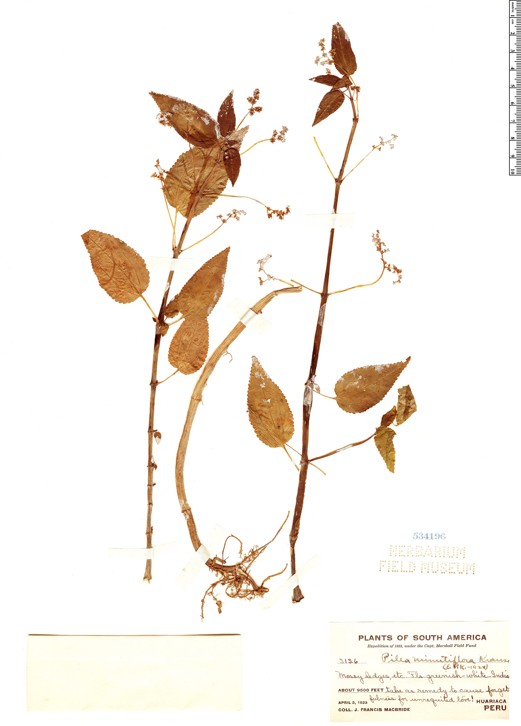 Specimen: Pilea minutiflora