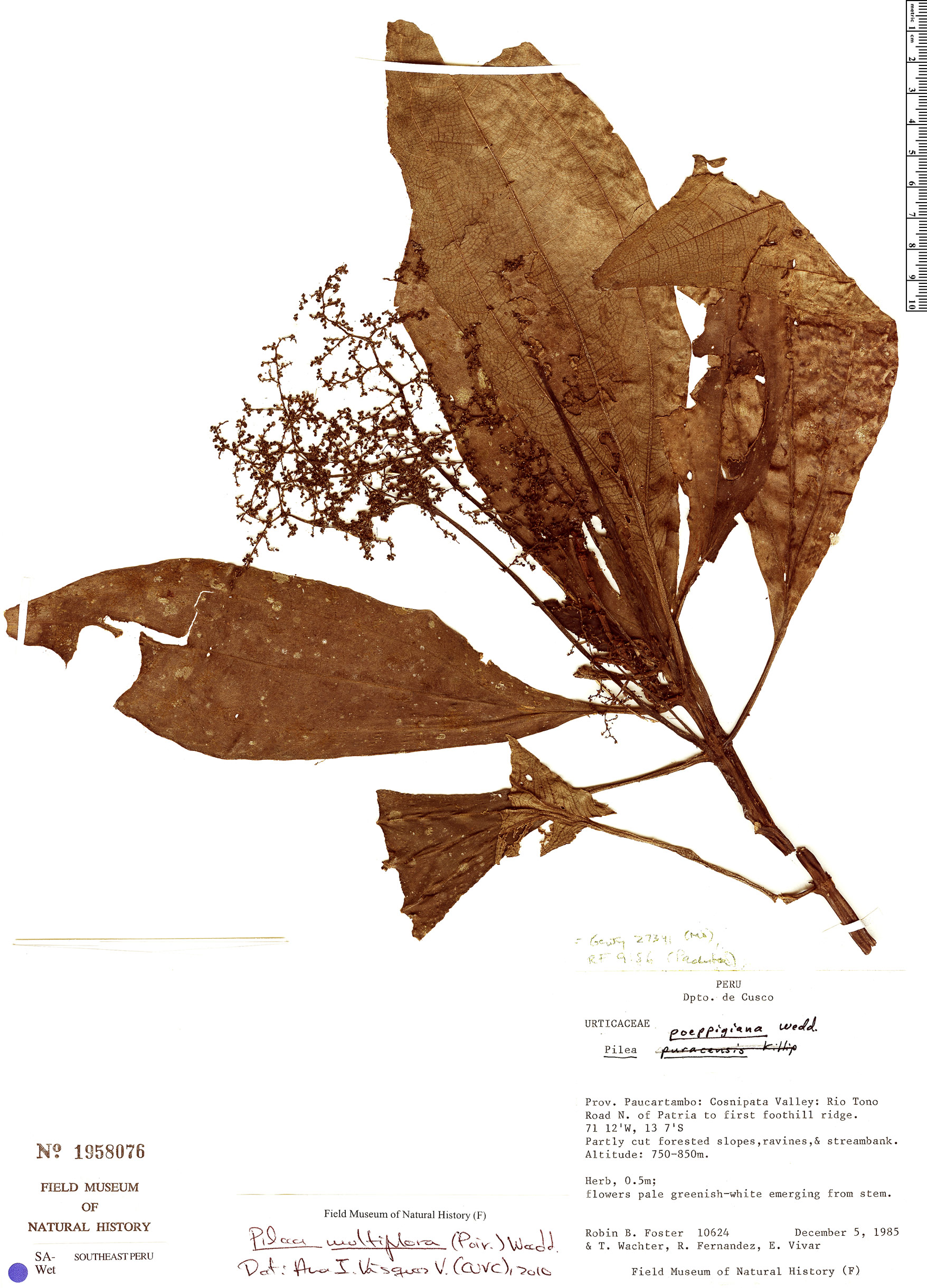 Specimen: Pilea multiflora