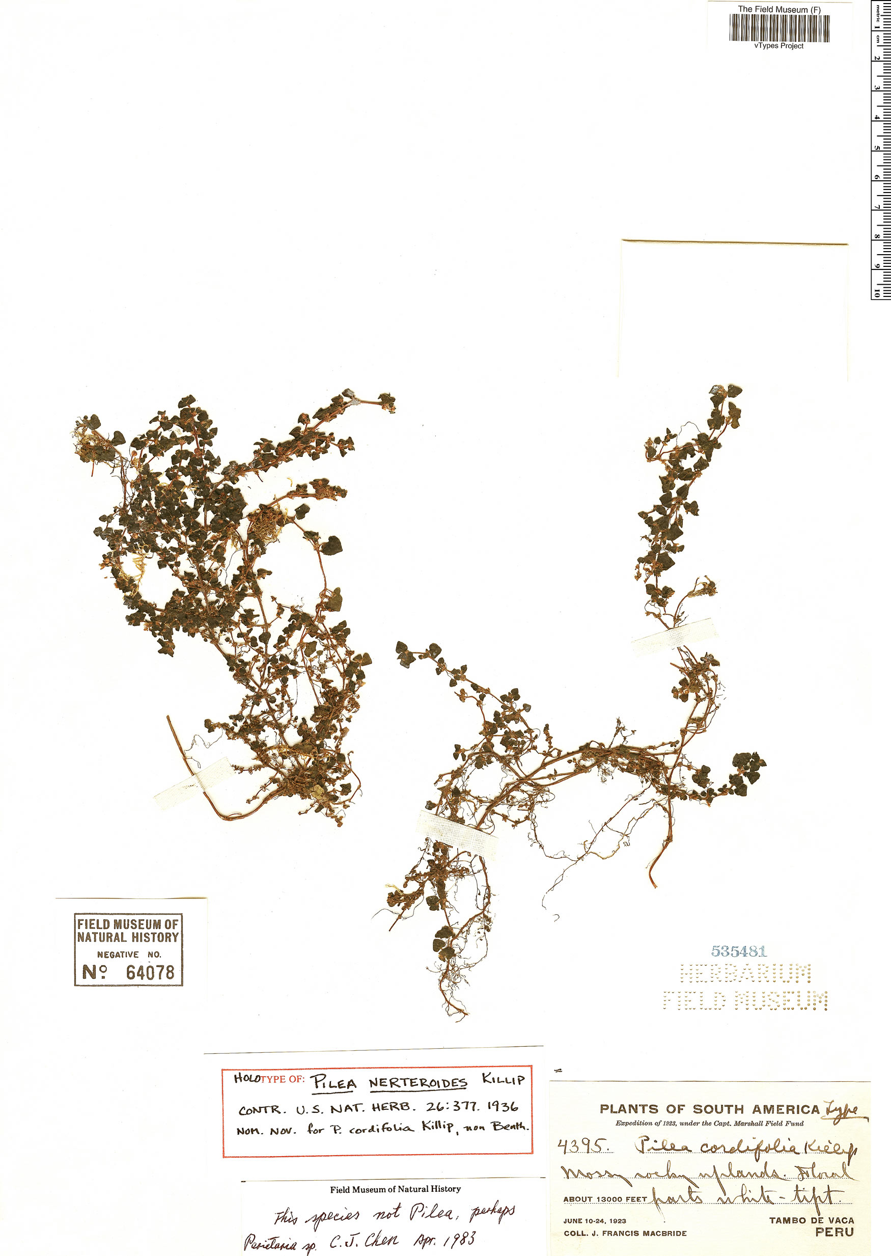 Specimen: Pilea nerteroides