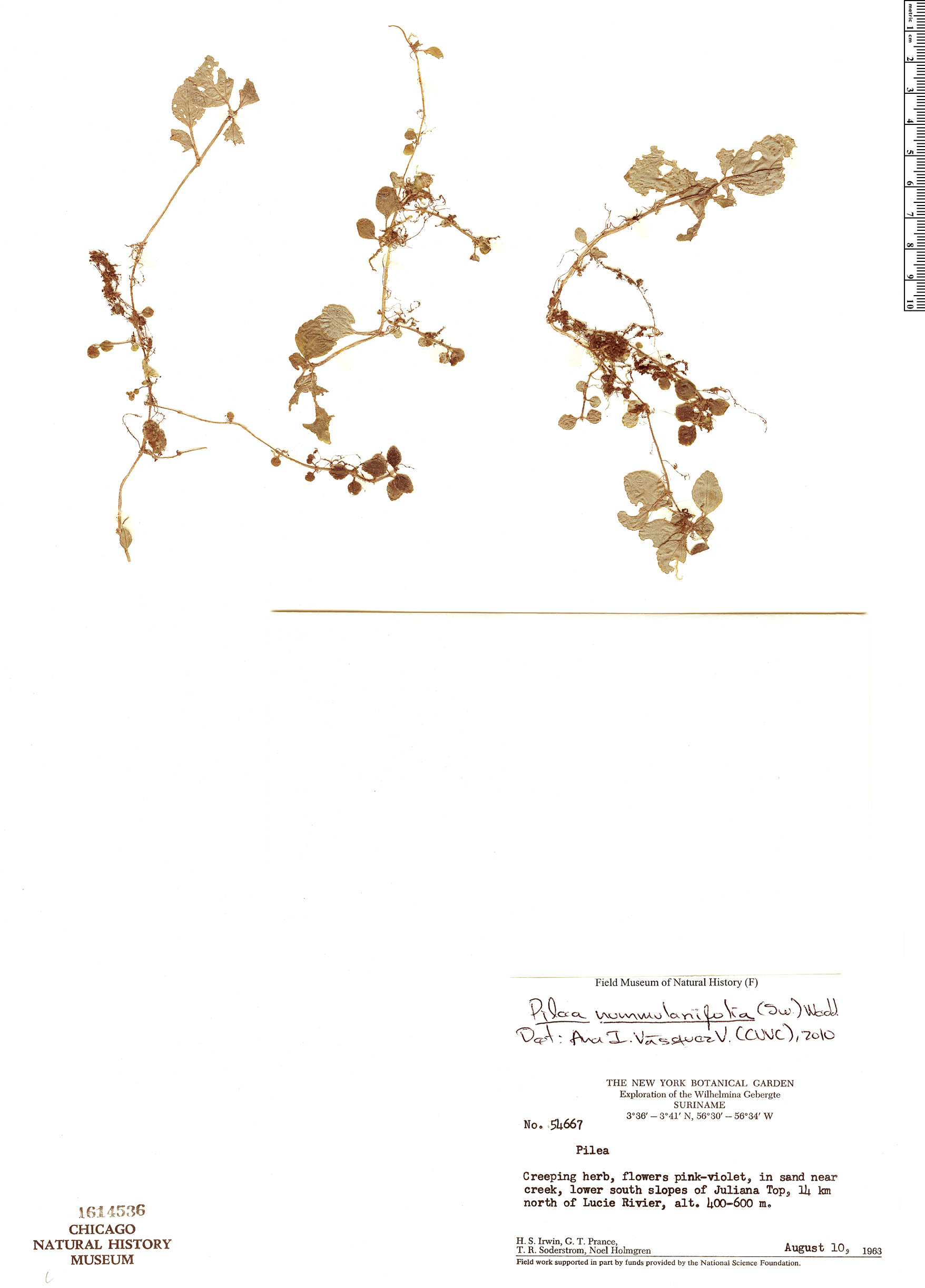 Pilea nummulariifolia image