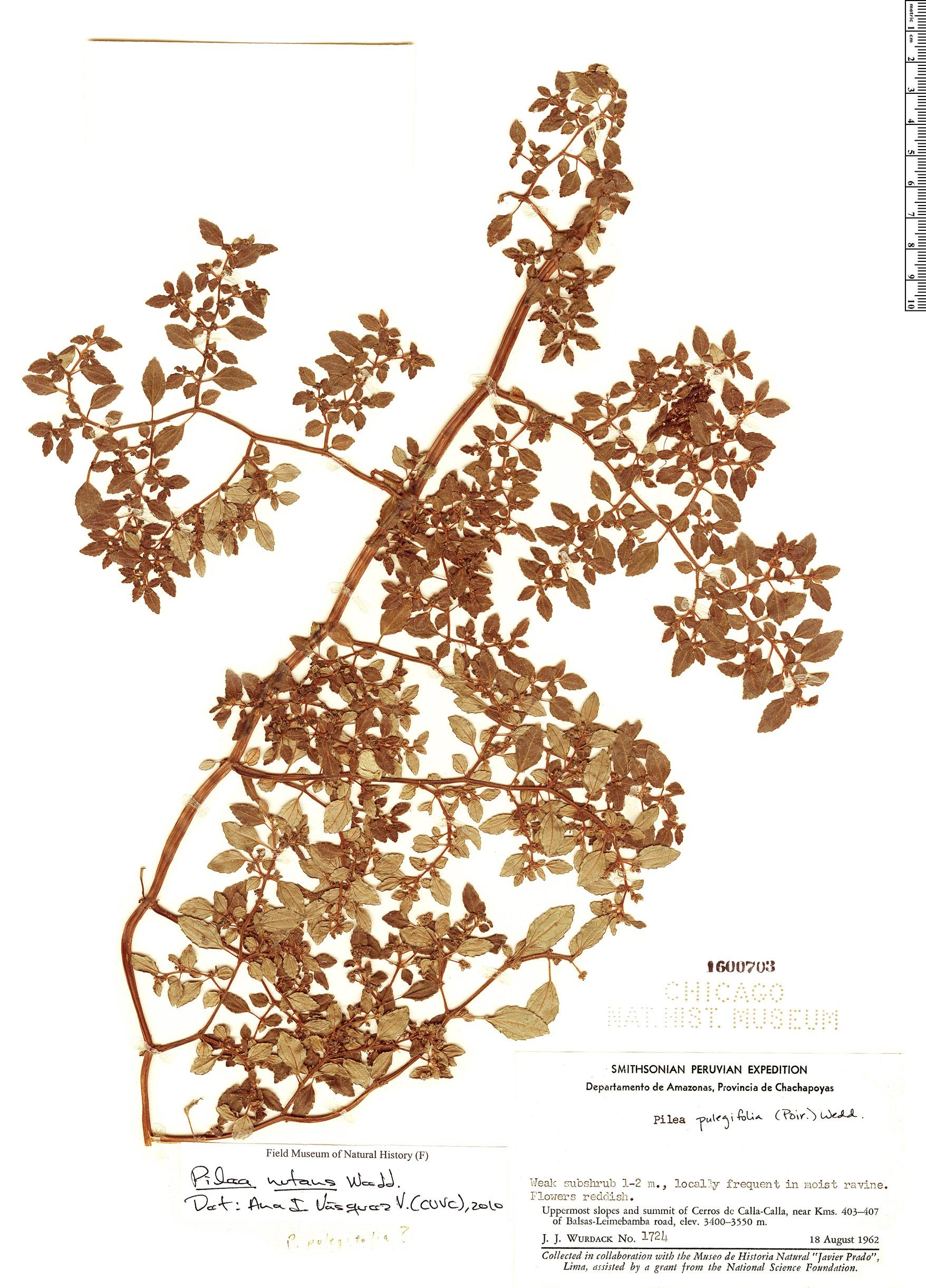 Specimen: Pilea nutans