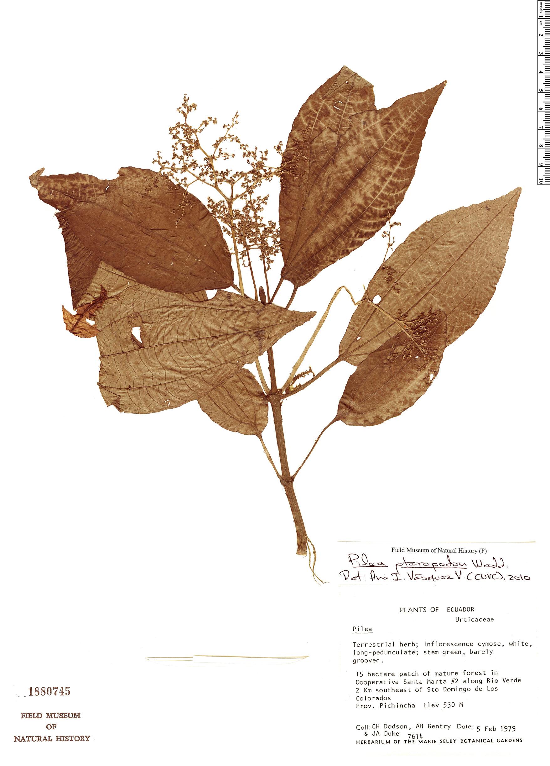 Specimen: Pilea pteropodon