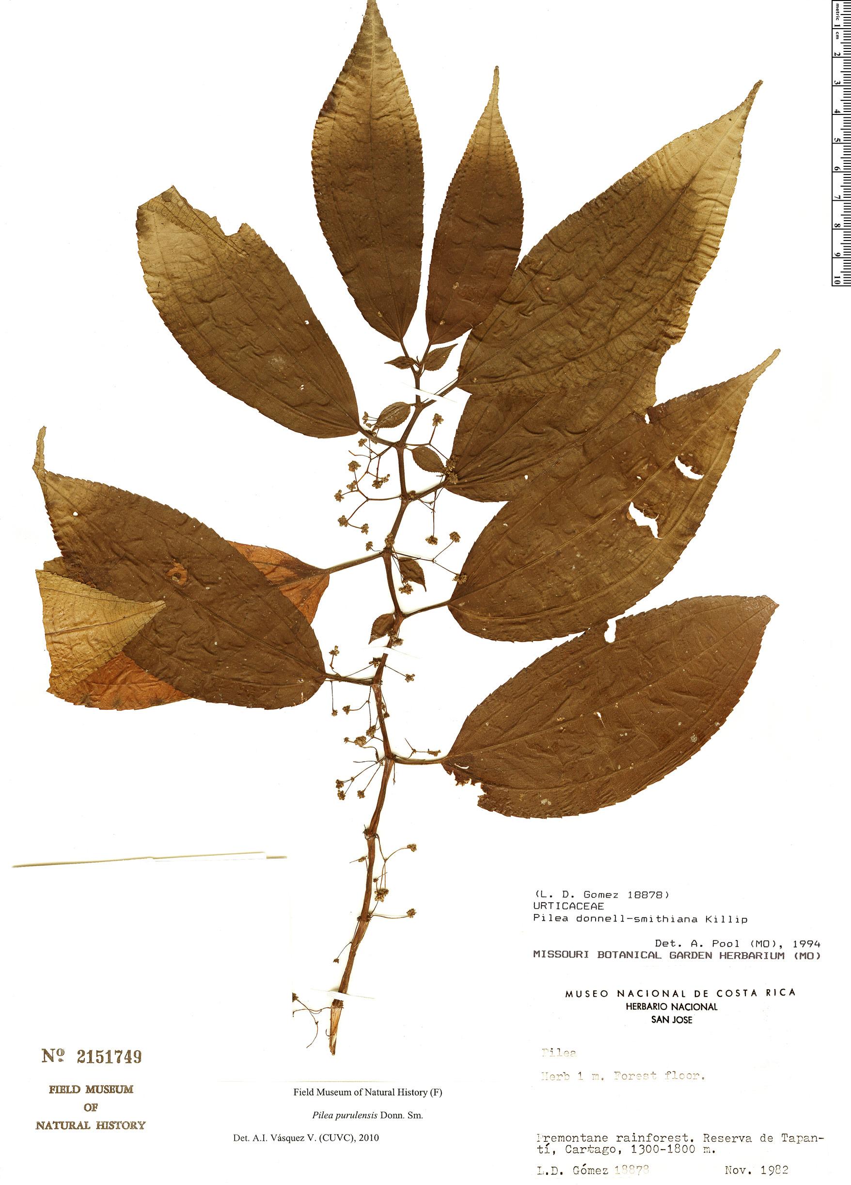 Specimen: Pilea purulensis