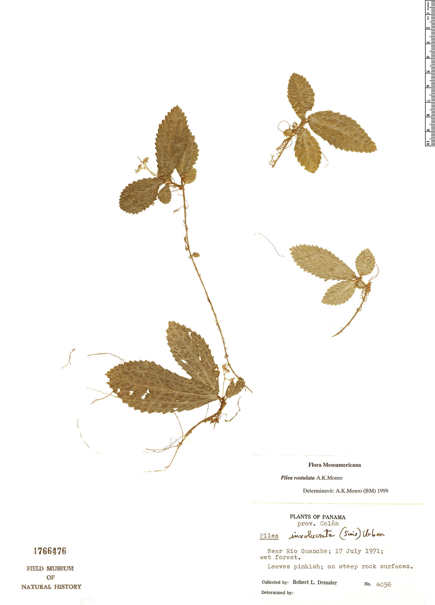Specimen: Pilea rostulata