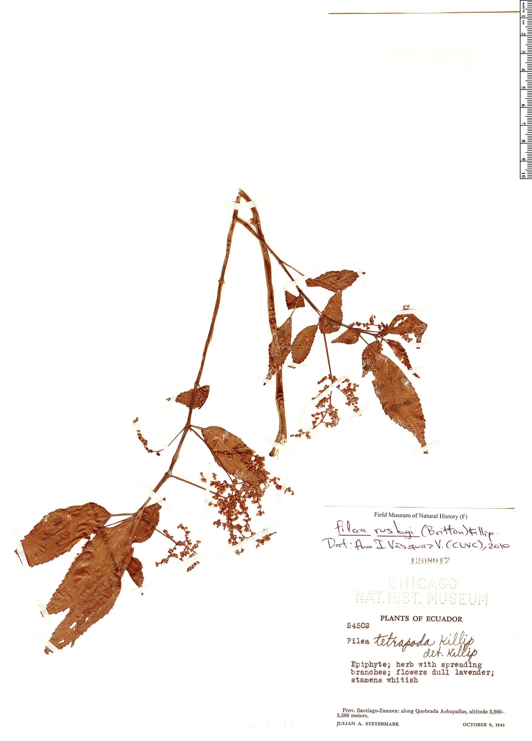 Specimen: Pilea rusbyi