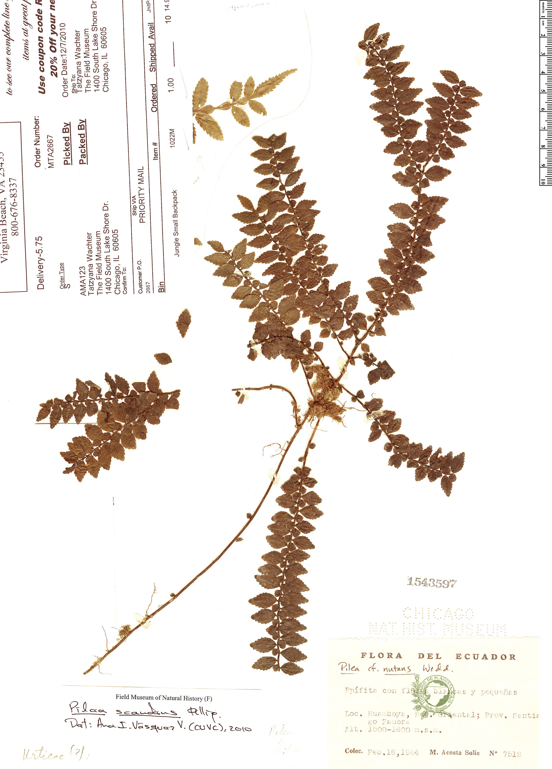 Specimen: Pilea scandens