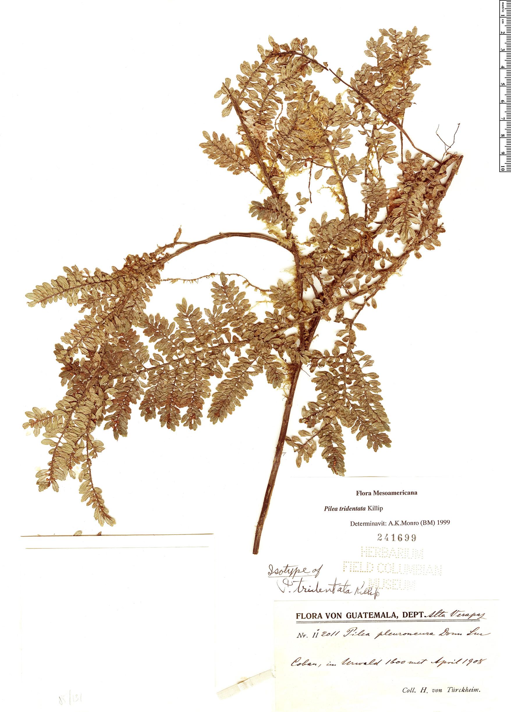 Specimen: Pilea tridentata