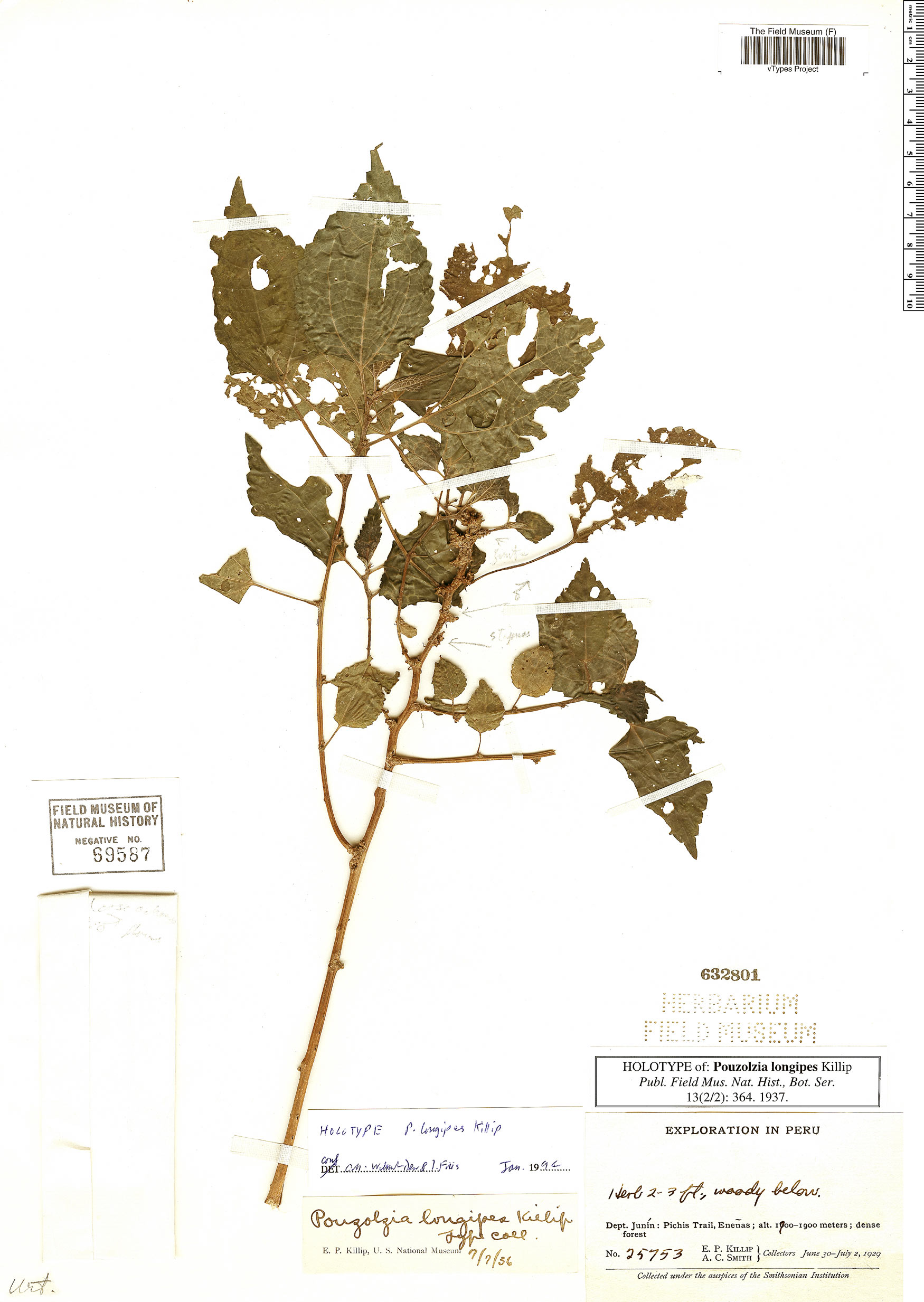 Specimen: Pouzolzia longipes