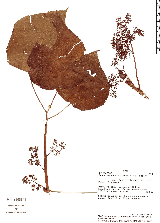 Specimen: Urera verrucosa