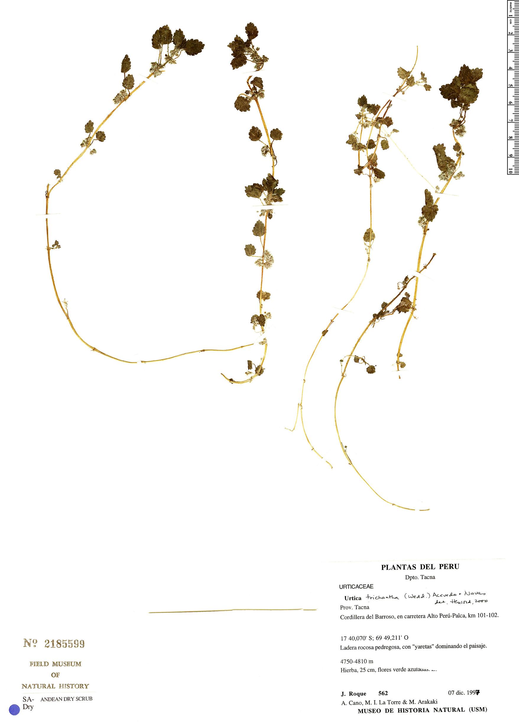 Urtica trichantha image