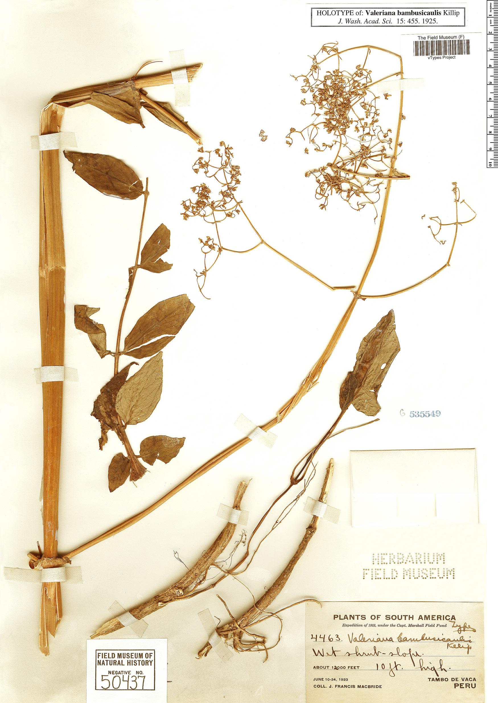 Espécime: Valeriana bambusicaulis