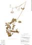 Valeriana paniculata image