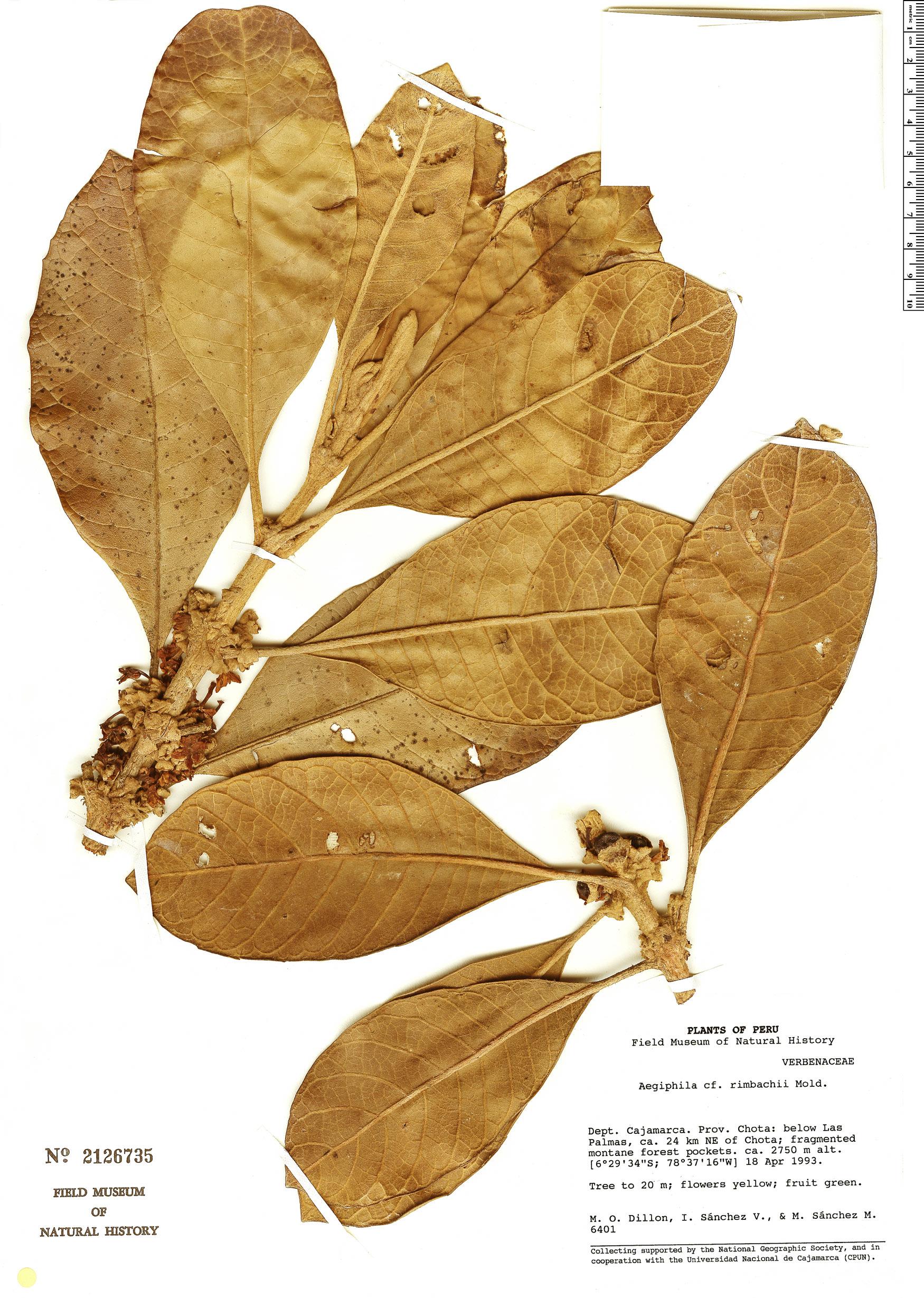 Specimen: Aegiphila rimbachii