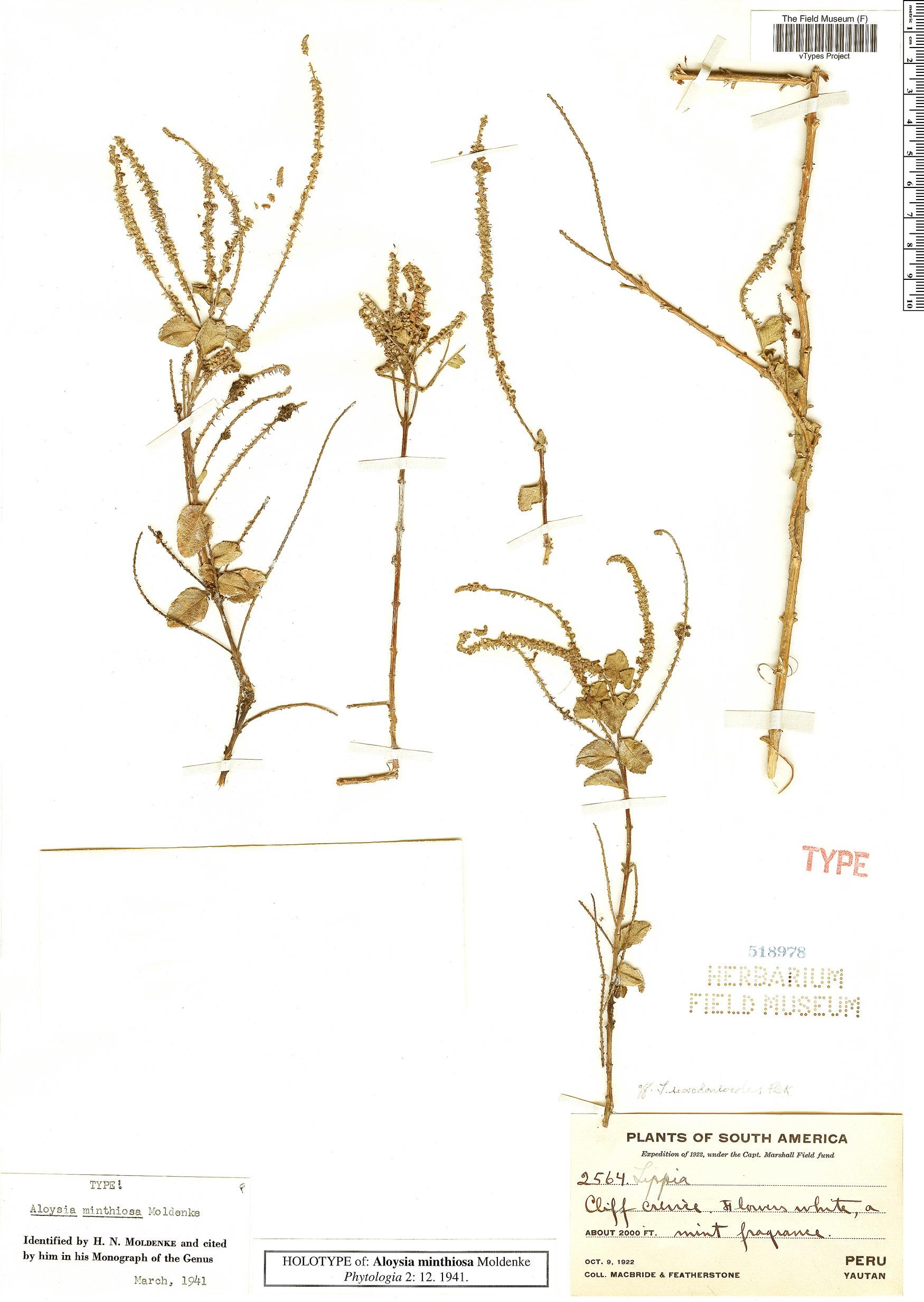 Specimen: Aloysia minthiosa