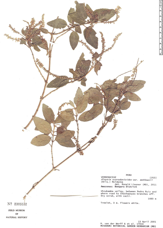 Specimen: Aloysia scorodonioides