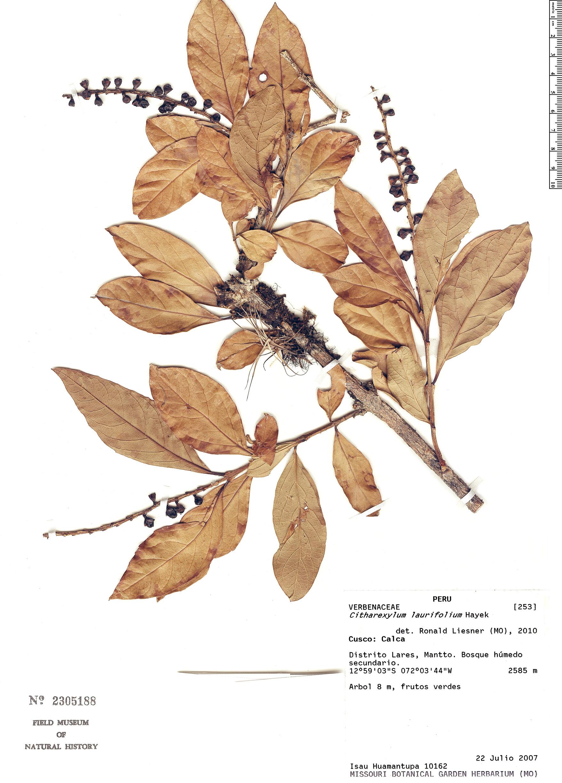 Specimen: Citharexylum laurifolium