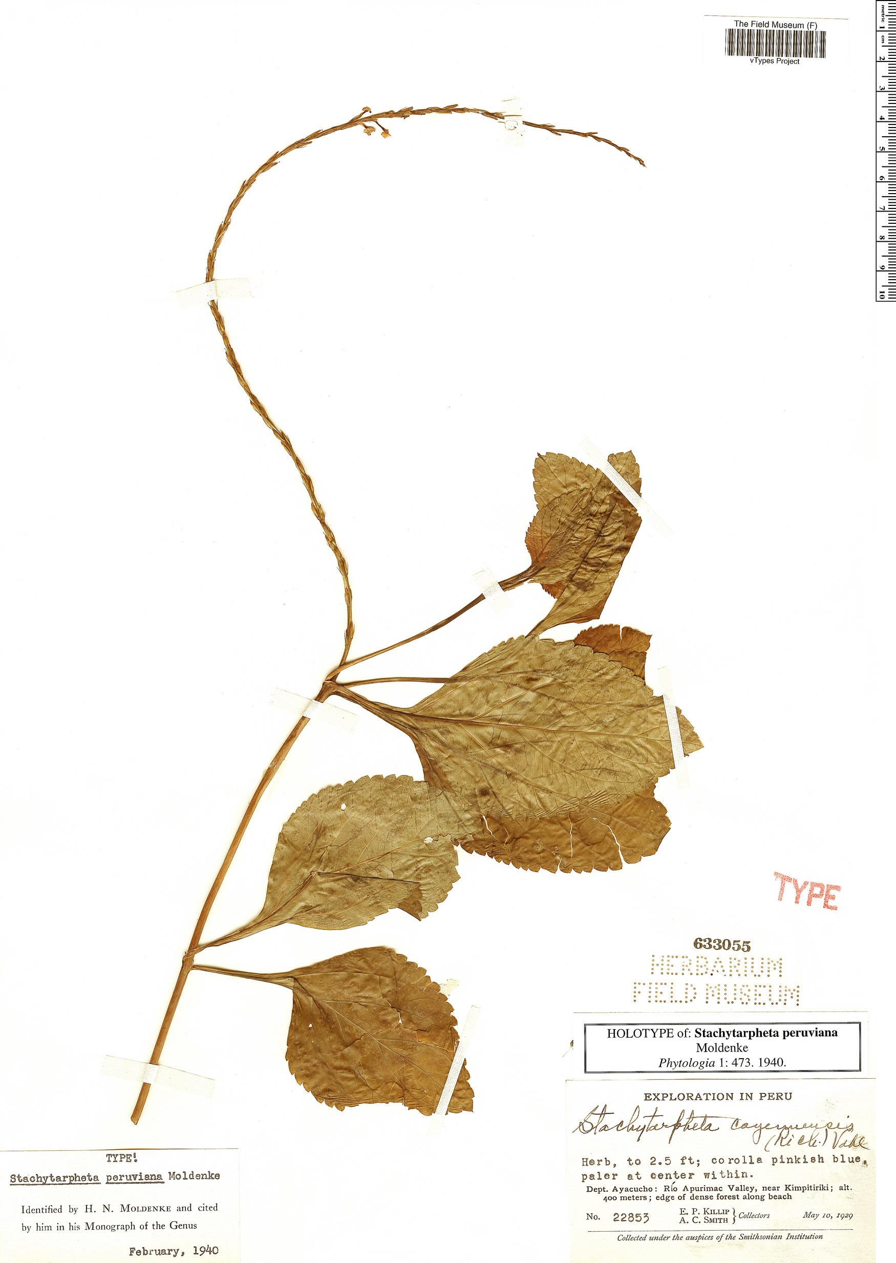 Specimen: Stachytarpheta peruviana