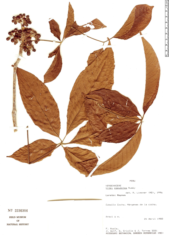 Specimen: Vitex pseudolea