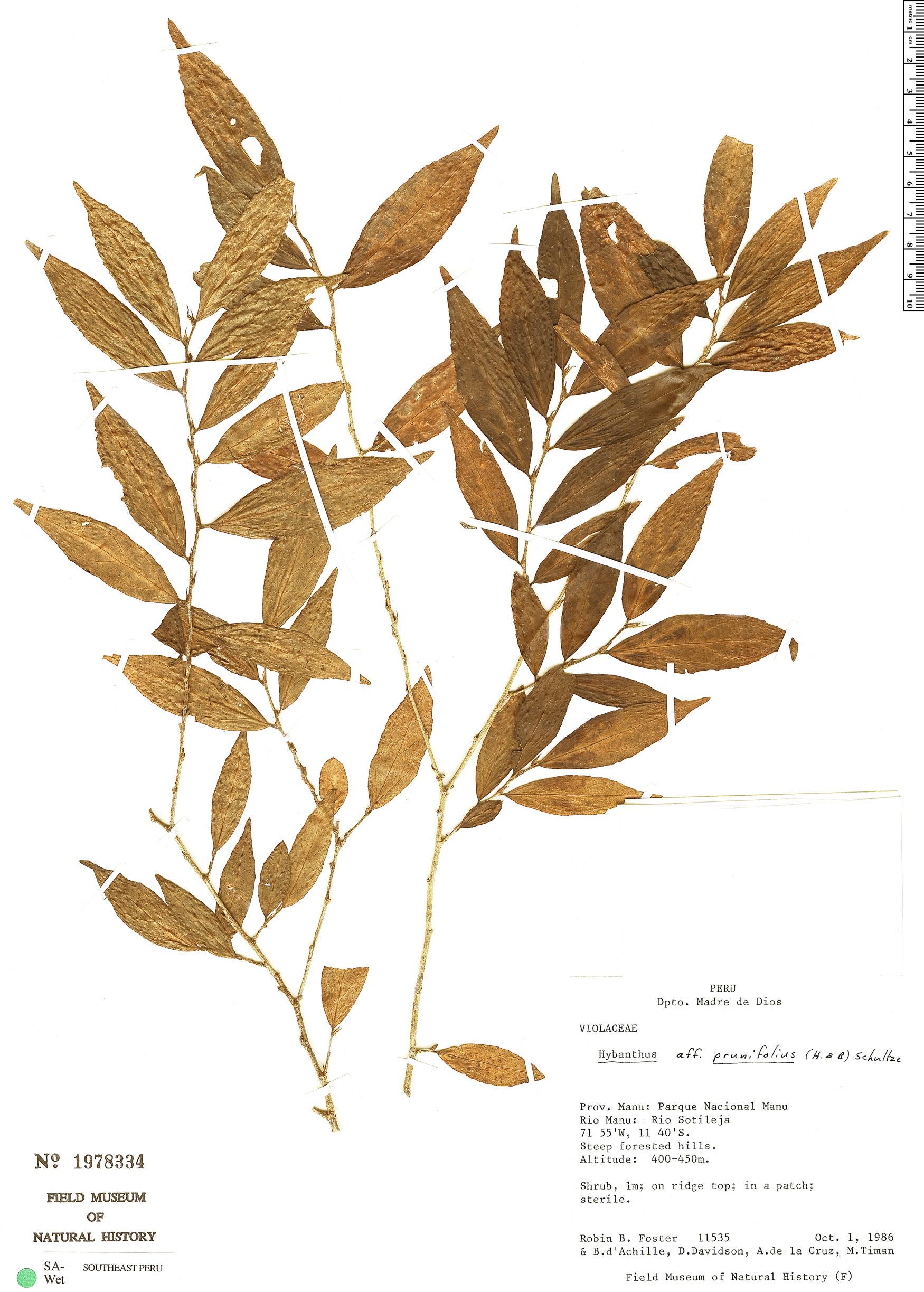 Specimen: Hybanthus prunifolius