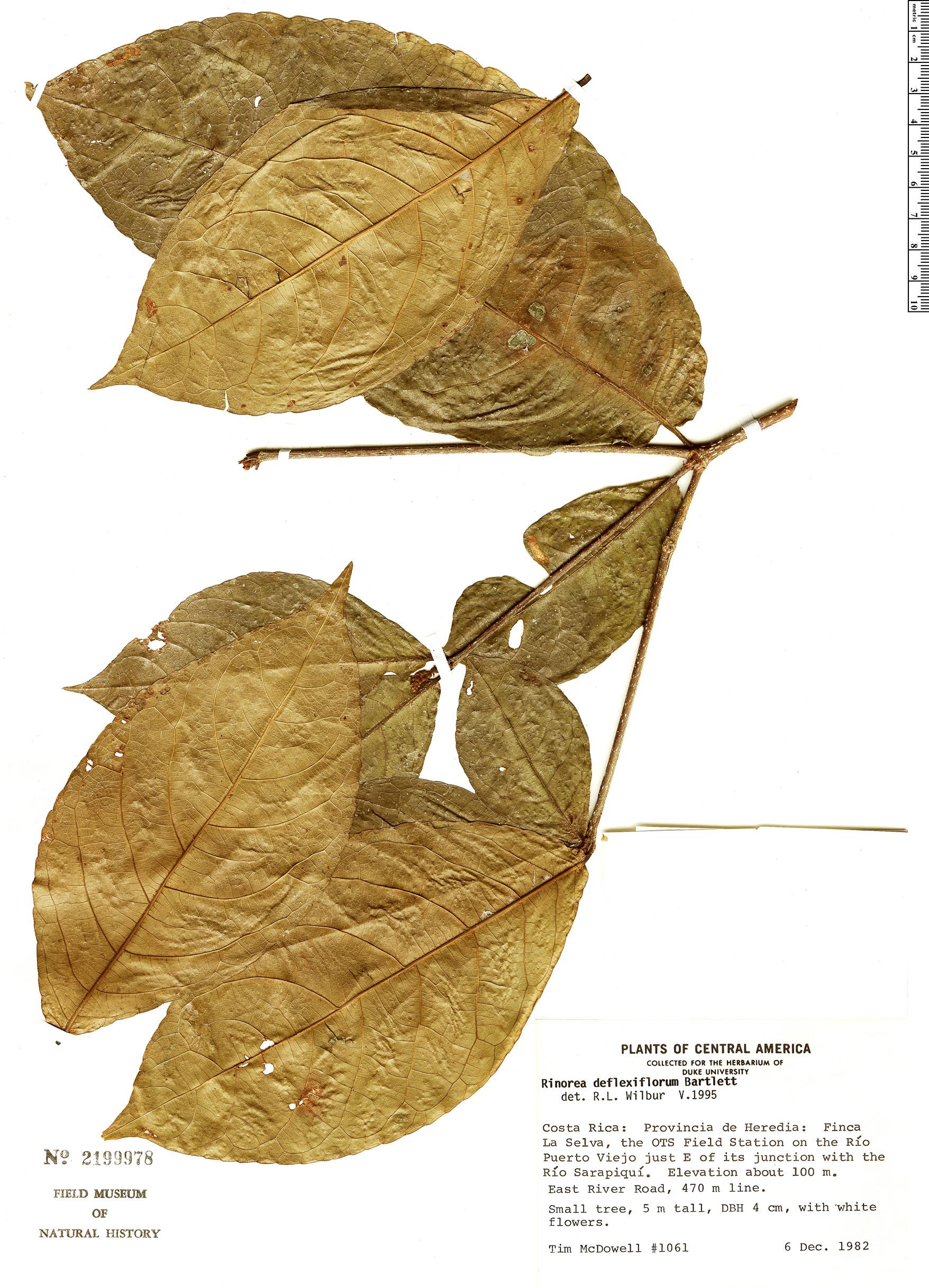 Specimen: Rinorea deflexiflora