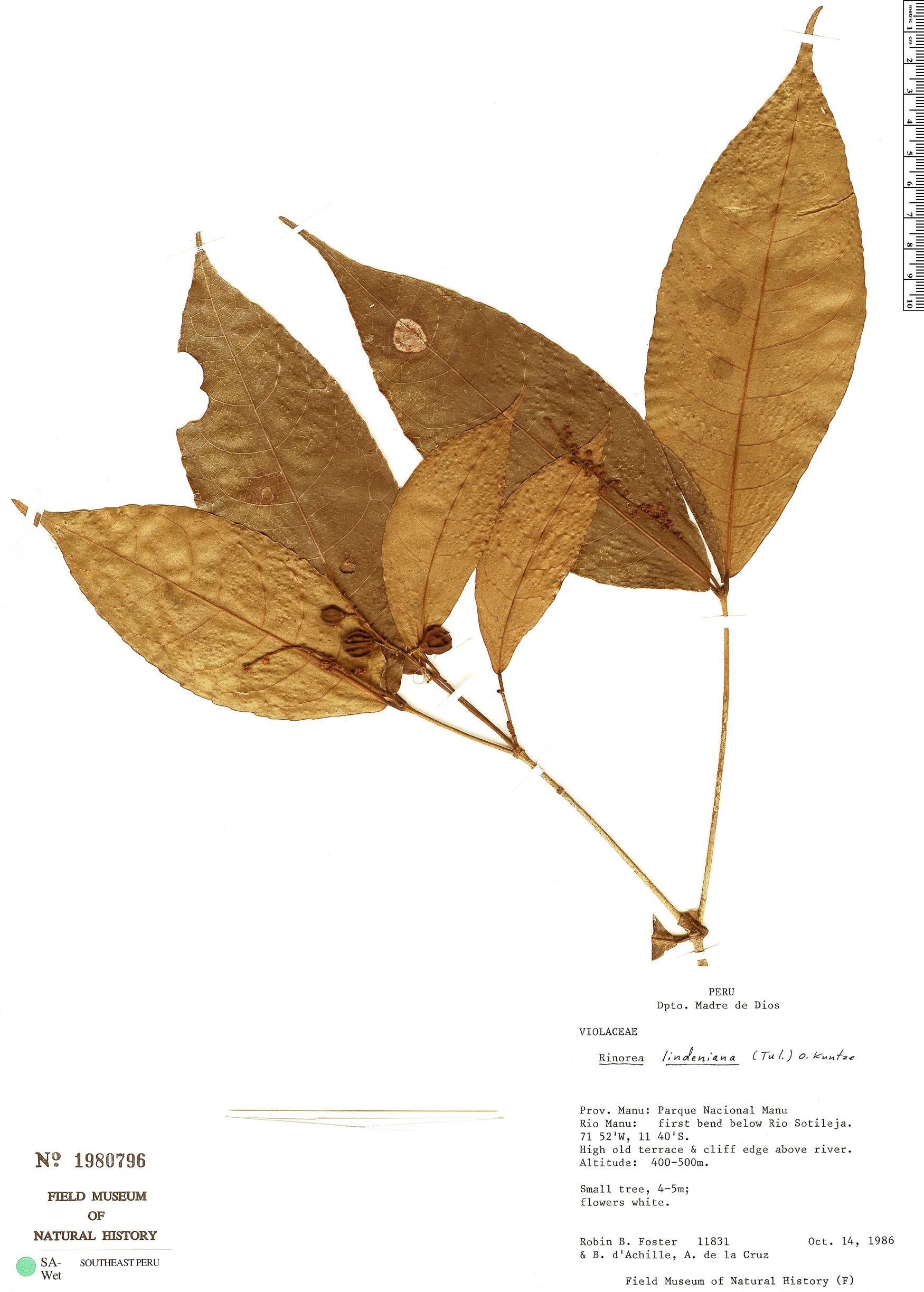 Specimen: Rinorea lindeniana