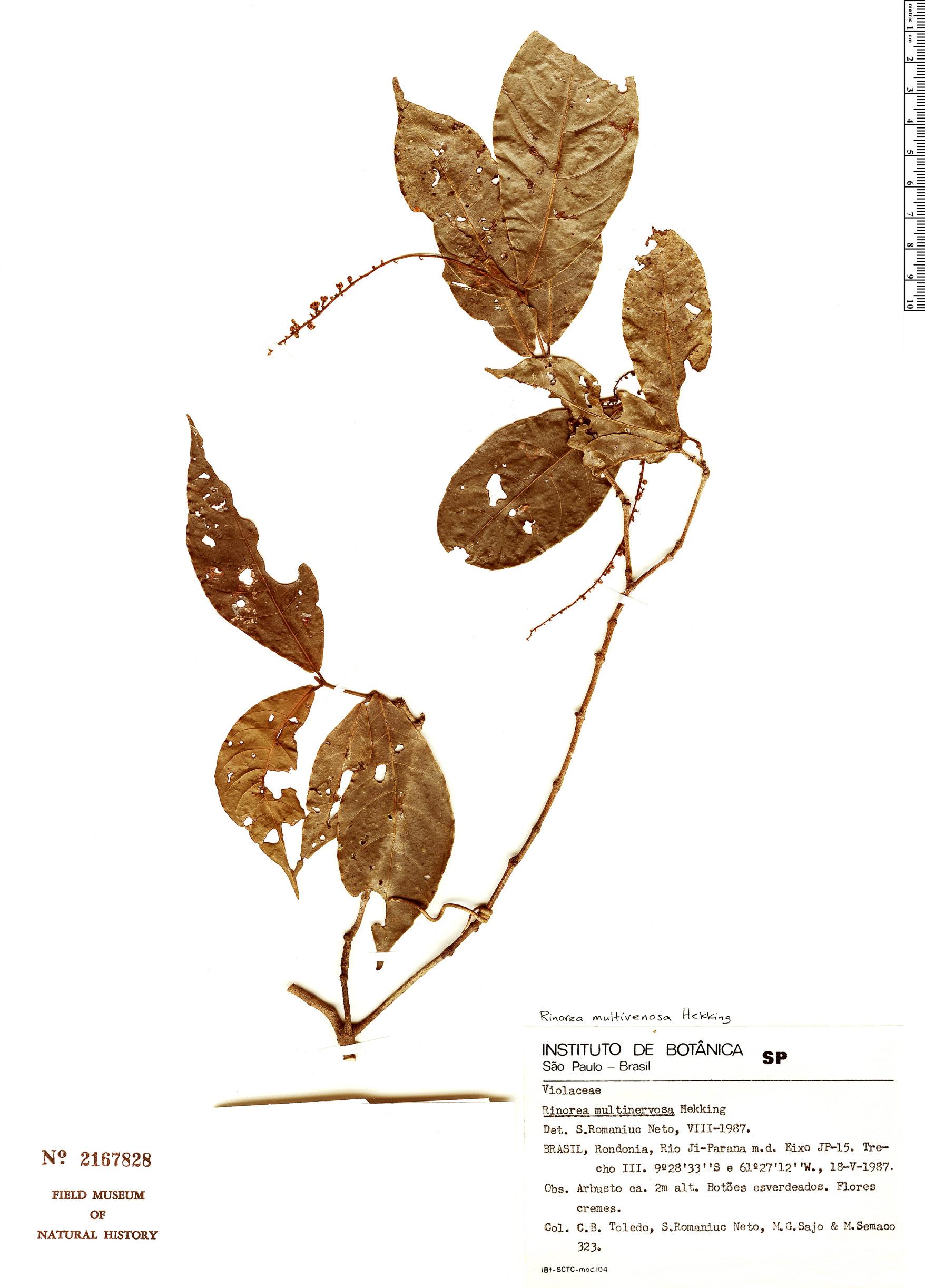 Specimen: Rinorea multivenosa