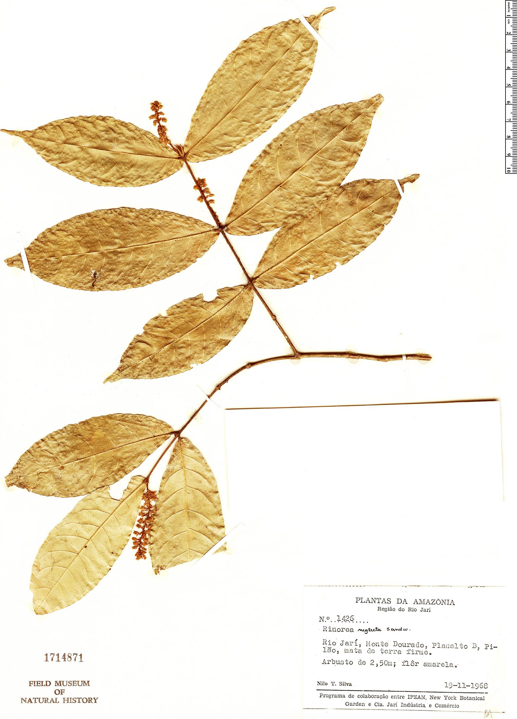 Specimen: Rinorea neglecta