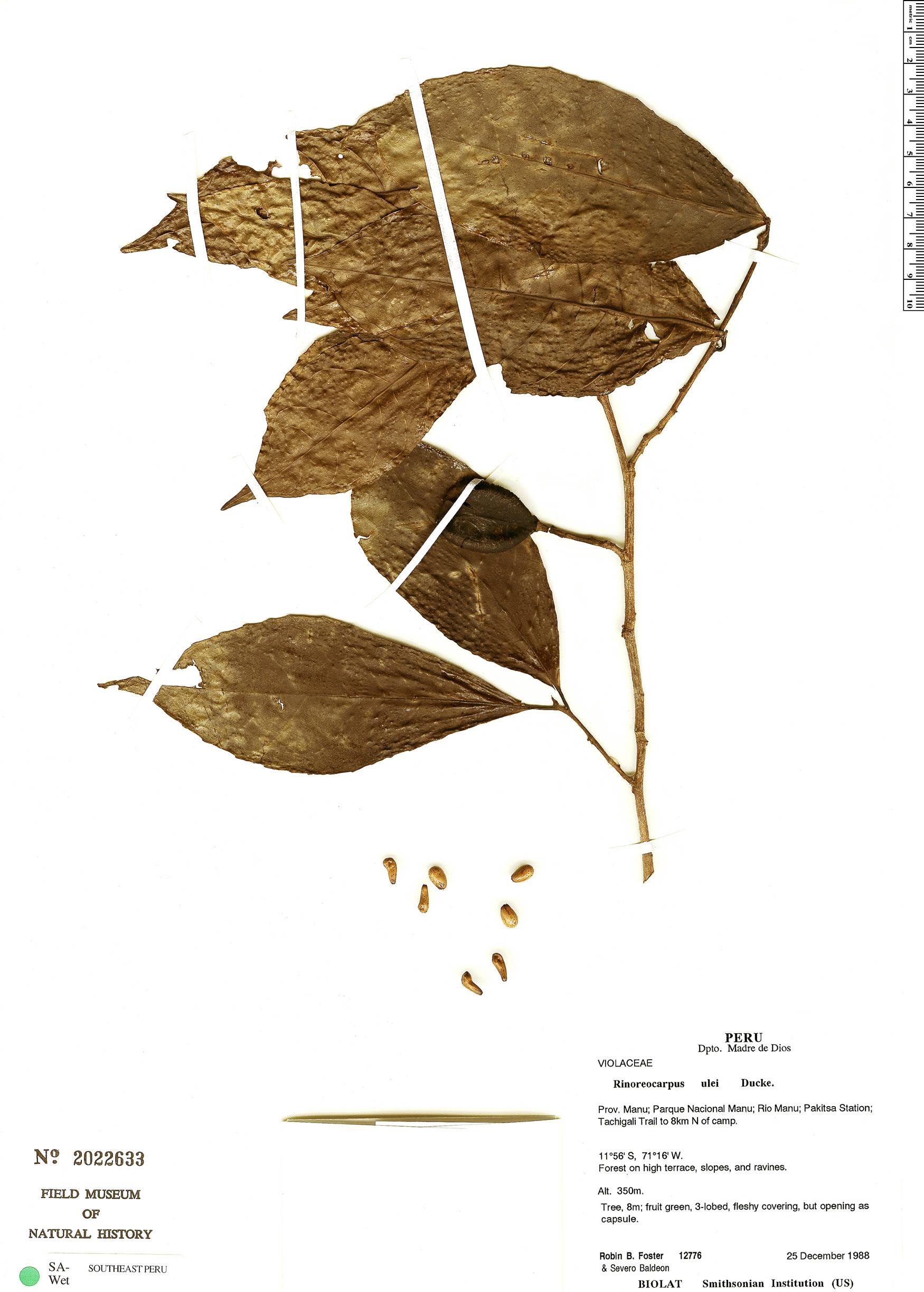 Espécime: Rinoreocarpus ulei